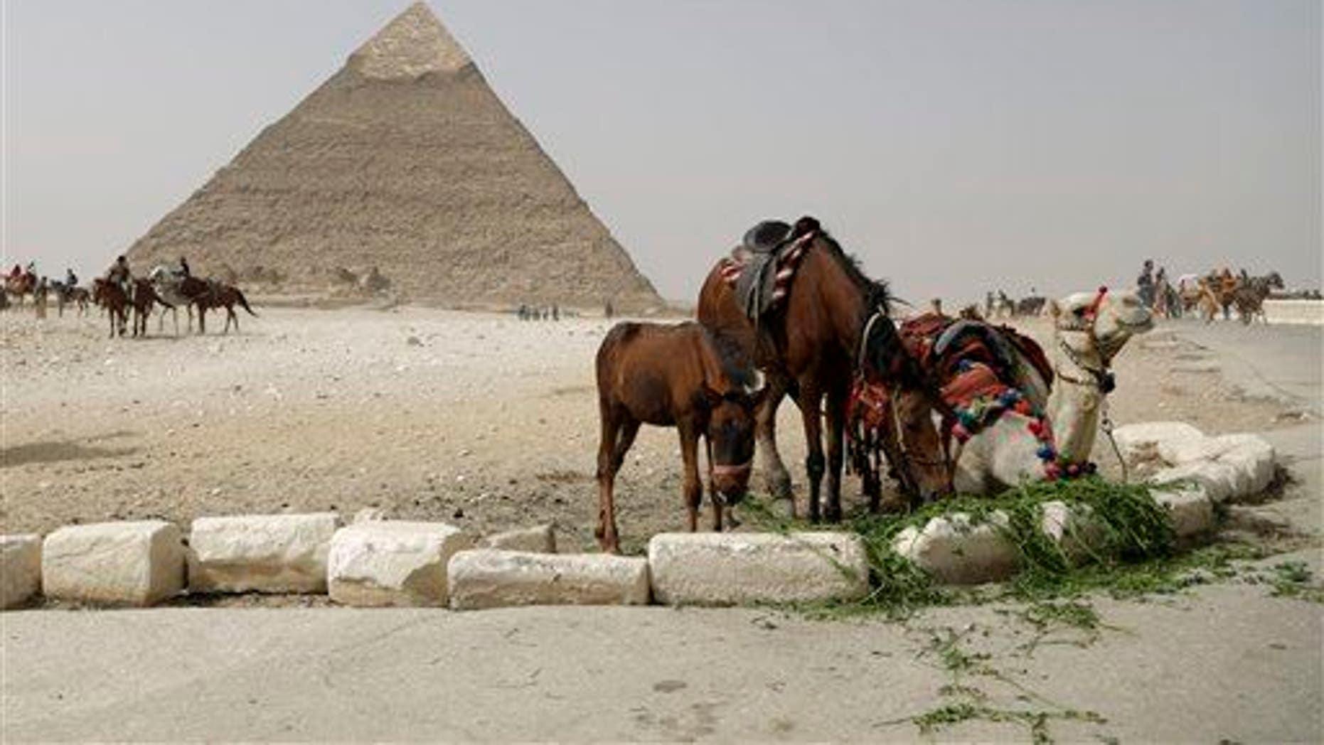 A camel and horses rest as a tour guide feeds them while he waits for visitors to offer the ride at the Giza Pyramids in Giza, near Cairo, Egypt.