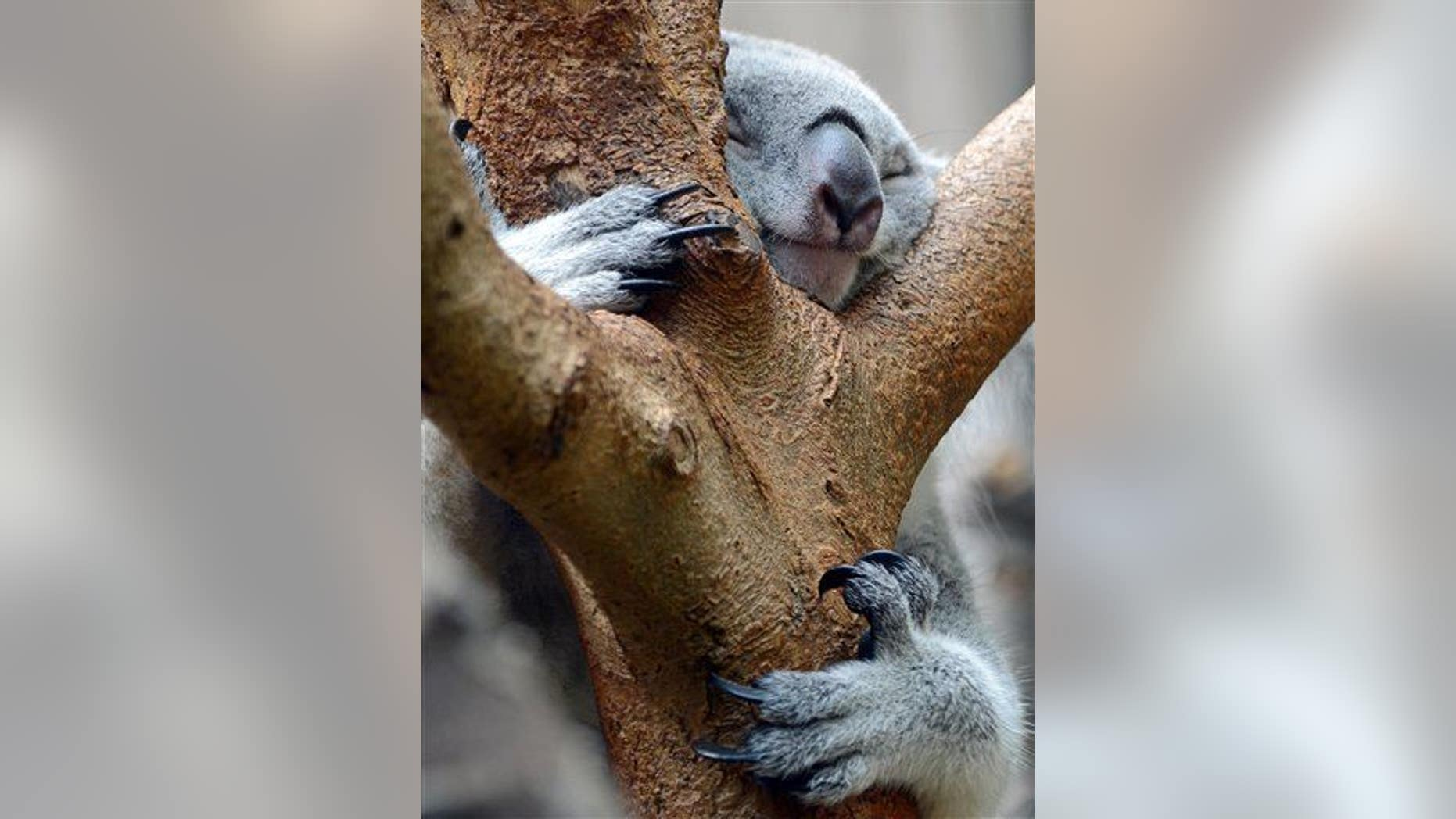 A koala hangs on a tree and sleeps during temperatures around 31 degrees Celsius (88 degrees Fahrenheit).
