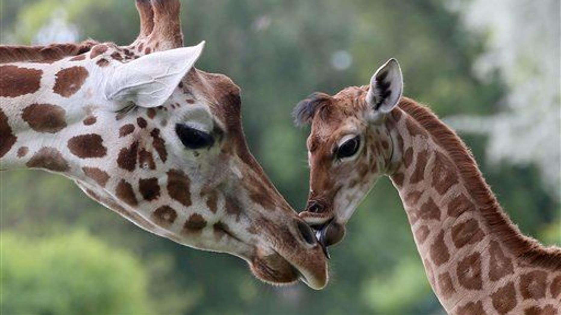 Nine-day-old giraffe Bine licks the nose of its giraffe aunt Andrea at Friedrichsfelde Zoo in Berlin, Germany, Friday, May 9, 2014.