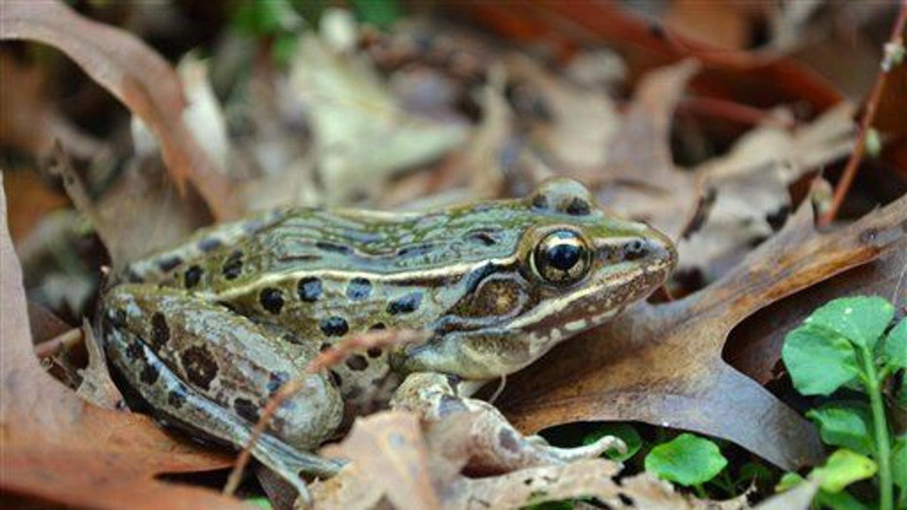 This undated photo provided by UCLA shows a new species of leopard frog in the Staten Island borough of New York.