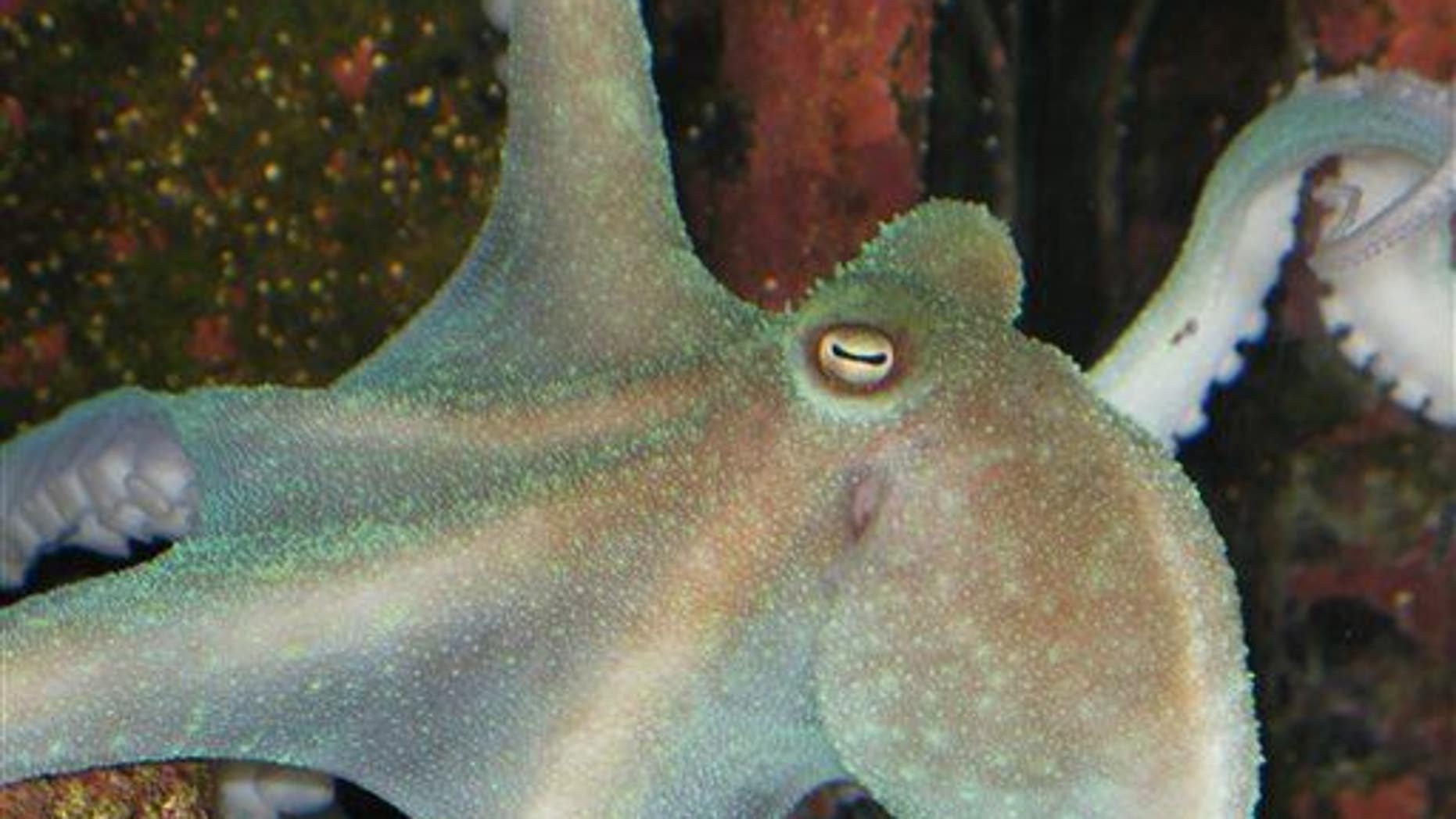 SueNami, a wild caught, male Octopus briareus, displaying green fluorescence. These animals have three hearts, a brain surrounding the esophagus, blue blood, and no bones.