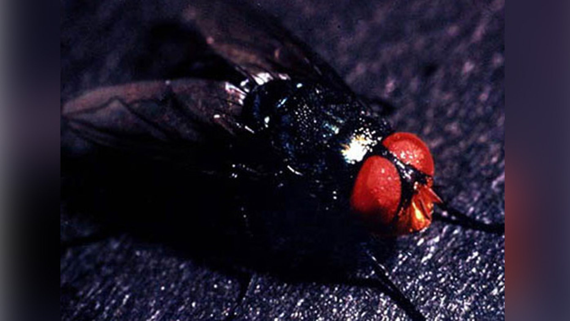 The screwworm fly, Cochliomyia hominivorax.