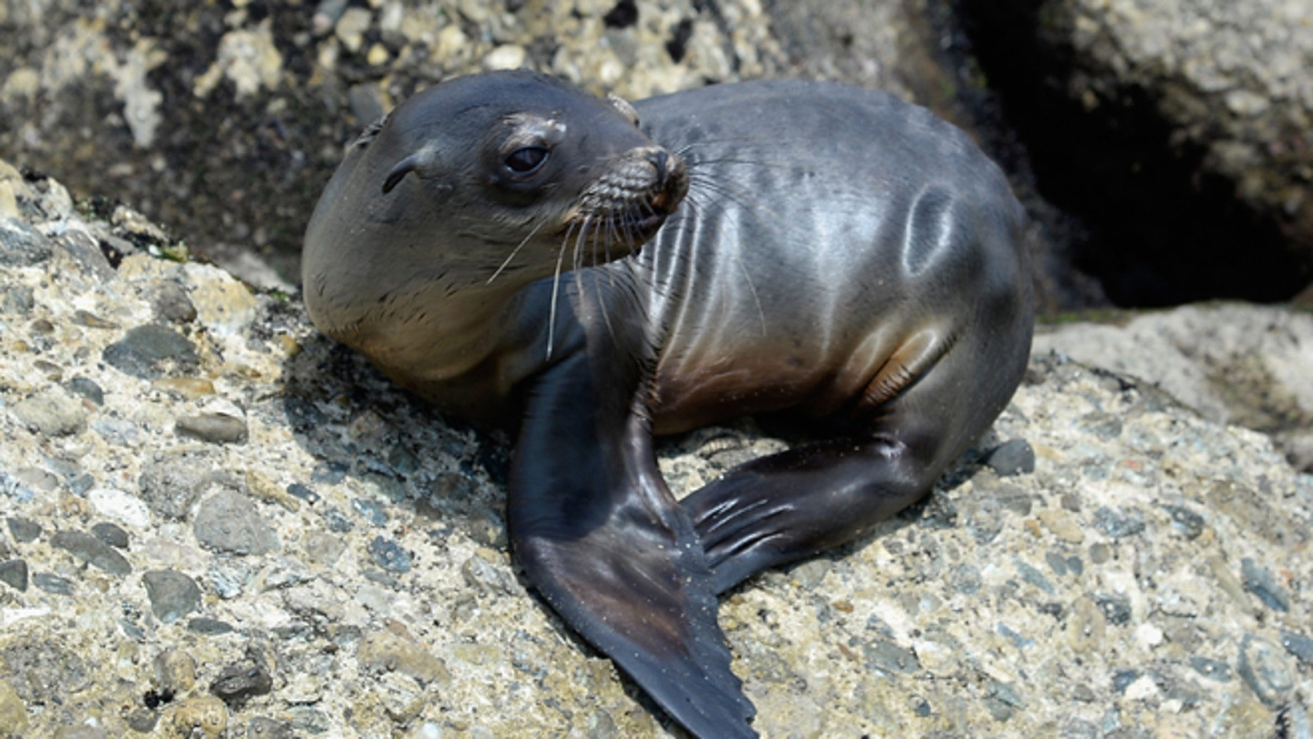 """LOS ANGELES, CA - APRIL 05:  A stranded and malnourished juvenile sea lion pup sits on the rocks of White Point Park waiting to get rescued by Peter Wallerstein of Marine Animal Rescue on April 5, 2013 in the San Pedro area of  Los Angeles, California. The sea lion pup, which weighed only 25 pounds, was transported to Marine Mammal Care Center at Fort MacArthur for rehabilitation. All along the California coast, sea lions have been getting stranded in great numbers since January for reasons unknown. The National Oceanic and Atmospheric Adminstration estimates that in the first three months of 2013, more than 900 malnourished sea lions have been rescued in the region compared to 100 during the same time period one year ago. Officials have declared an """"unusual mortality event"""" for the California sea lion, a designation that prompts immediate federal response.  (Photo by Kevork Djansezian/Getty Images)"""