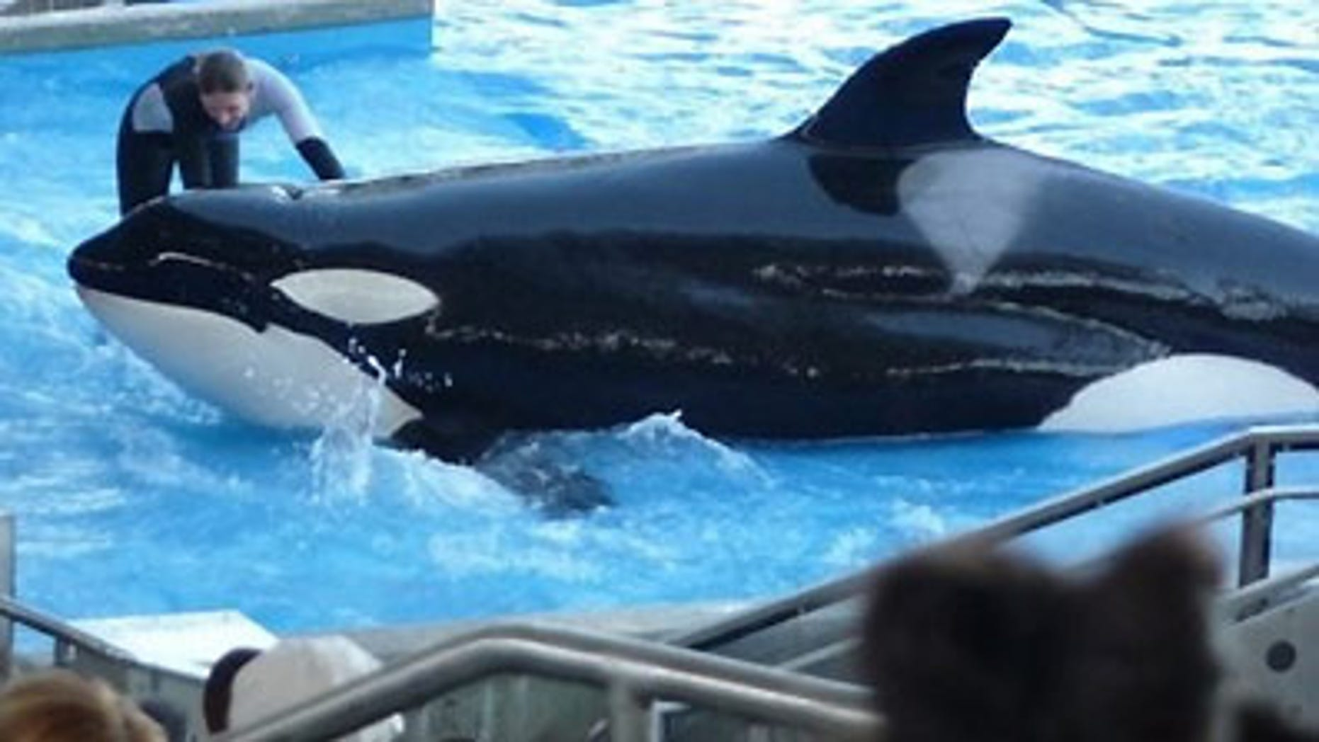 """An unidentified trainer works with a killer whale during the """"Believe"""" show at Sea World in Orlando, Florida/Reuters"""