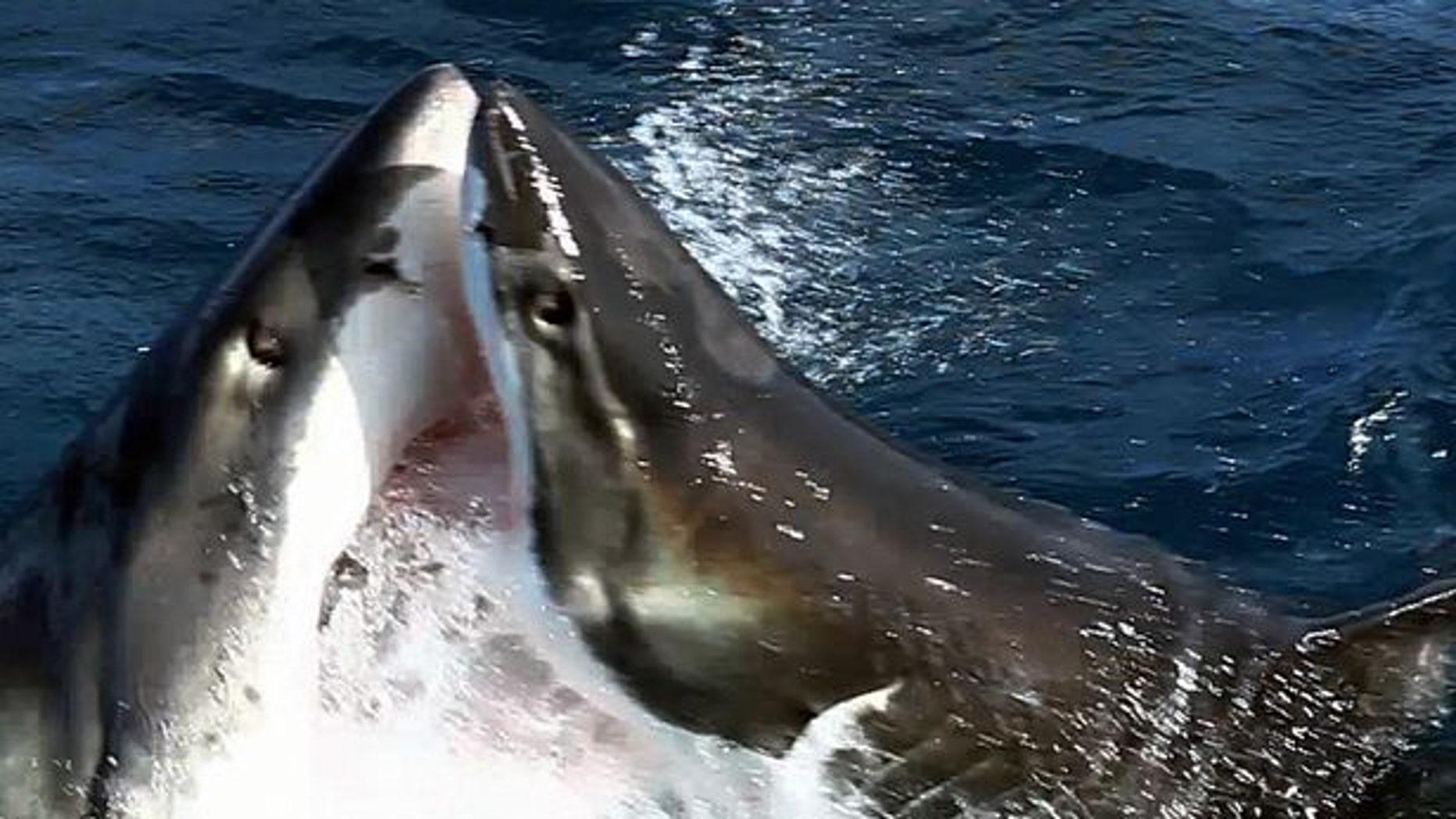Shark Attack Great White Attacks Fellow Shark Fox News