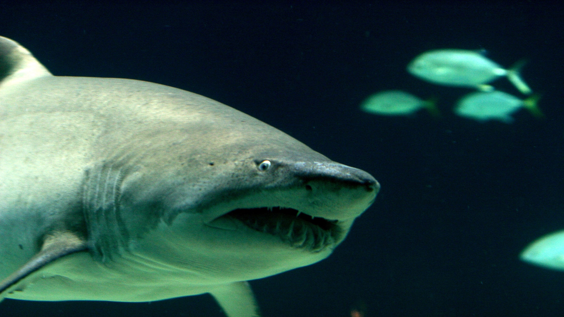 Joshua Seguine, of LaGrangeville, N.Y., was arrested Tuesday for allegedly keeping seven live sandbar sharks in an aboveground pool in his home. (A file image of a sandbar sharkis pictured)