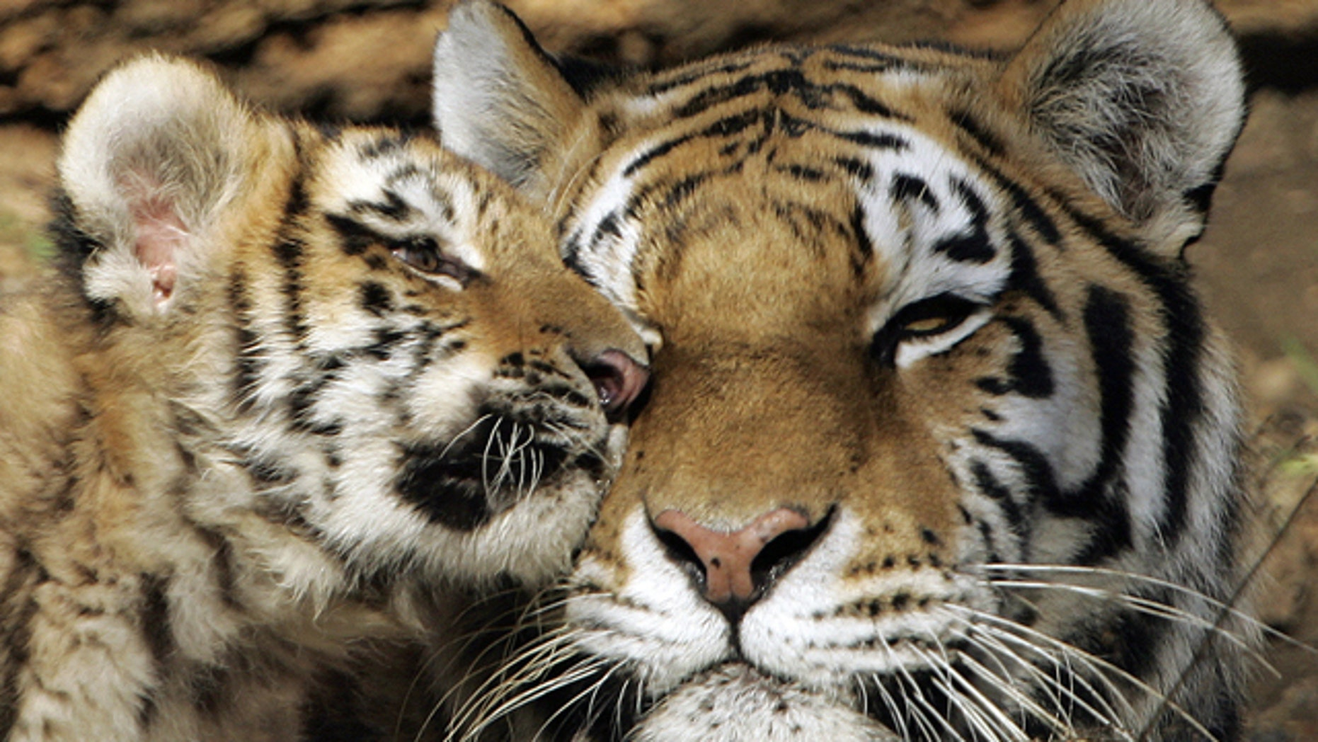 A male Siberian Tiger cub nuzzles up to his mother in the exhibition area at the Pittsburgh Zoo and Aquarium in 2006.