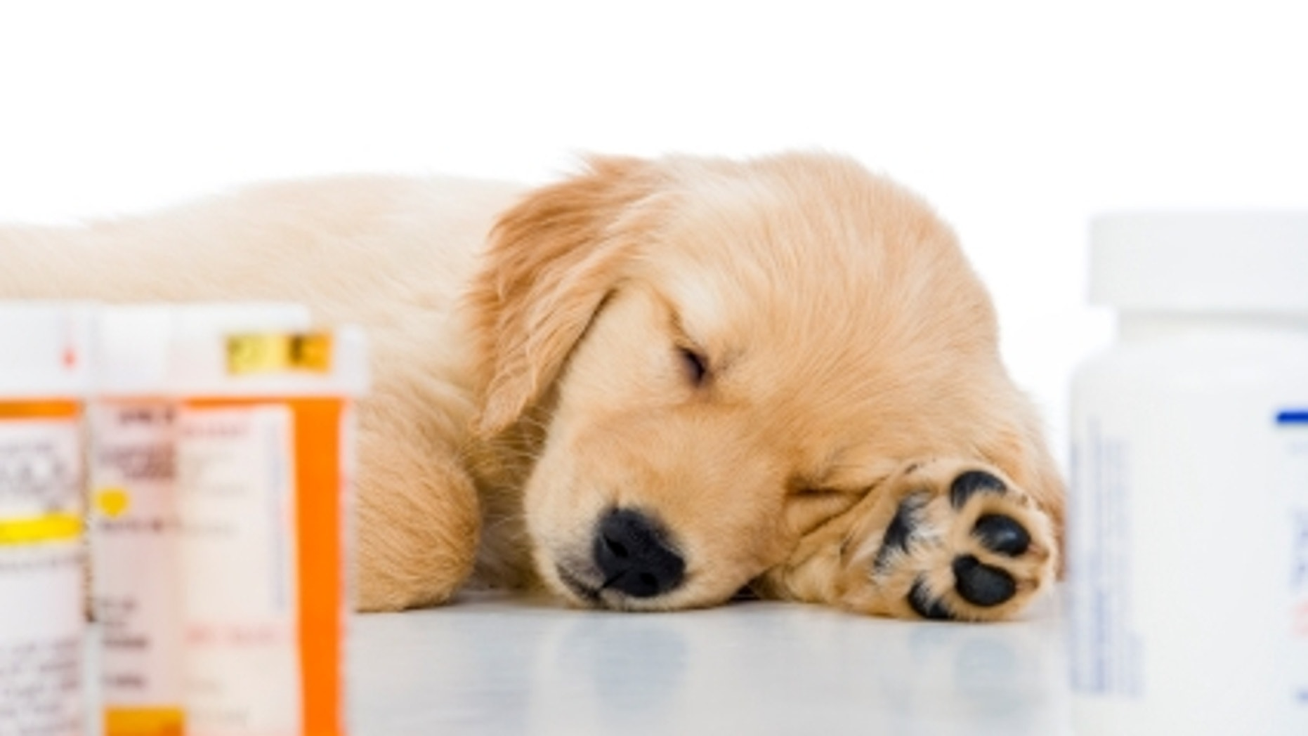 """""""Under the weather"""" 8 week old Golden Retriever puppy lying on a white background with prescription pill bottles in the foreground  """"WHITE"""""""