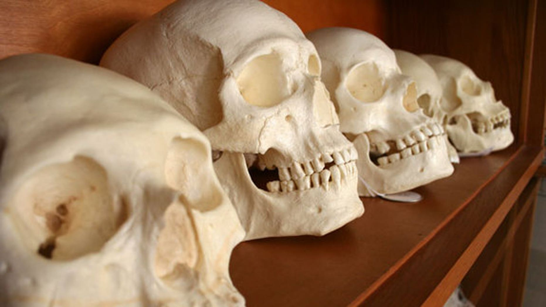 Skulls from a forensic anthropology lab.