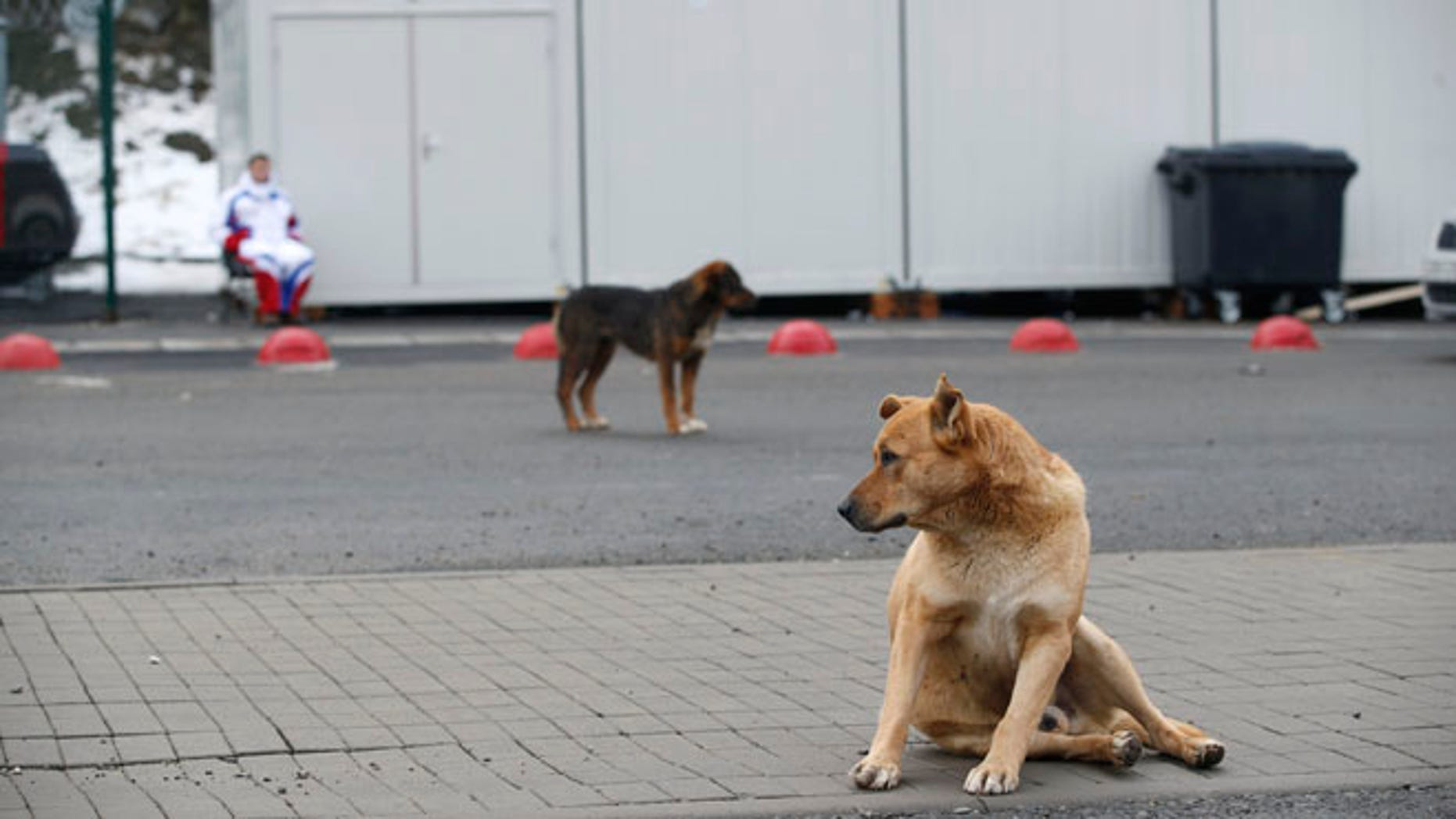 Feb. 3, 2014: Stray dogs sit outside the Rosa Khutor Extreme Park course, a venue for the snowboarding and freestyle competitions of the 2014 Winter Olympics, in Sochi, Russia.