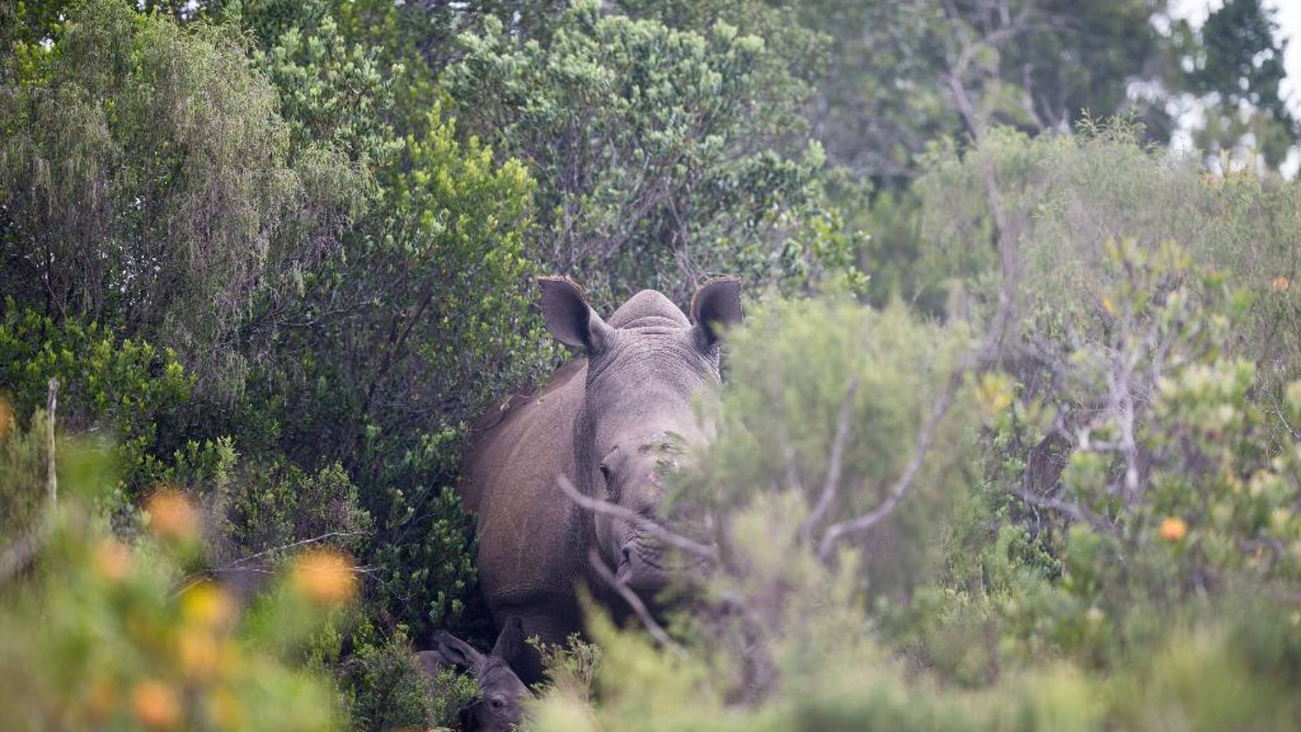 This handout photo from the Kariega Game Reserve taken Tuesday, Jan. 13, 2015 shows rhino poaching survivor Thandi with her newly born calf in the Kariega Game Reserve near Port Elizabeth, in the eastern Cape Province. Thandi, was rescued in March 2012 after poachers hacked off her horn, and left her to bleed to death along with two male rhinos. (AP Photo/Adrian Steirn, Kariega Game Reserve) NO ARCHIVE.