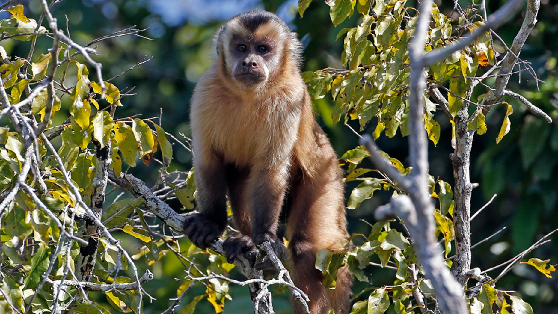 File photo - A monkey plays in the trees in the Pantanal wetlands near in Pocone outside World Cup host city Cuiaba June 22, 2014.