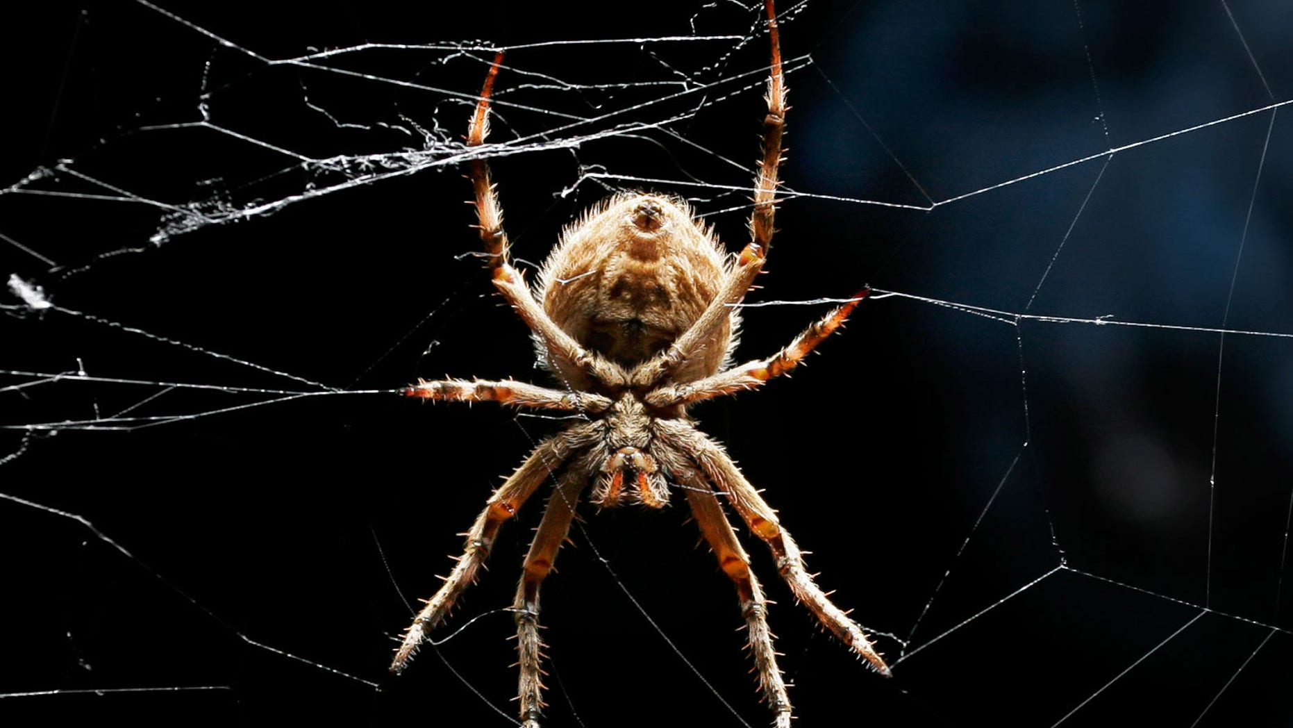 An orb-weaver spider relaxes in its web.