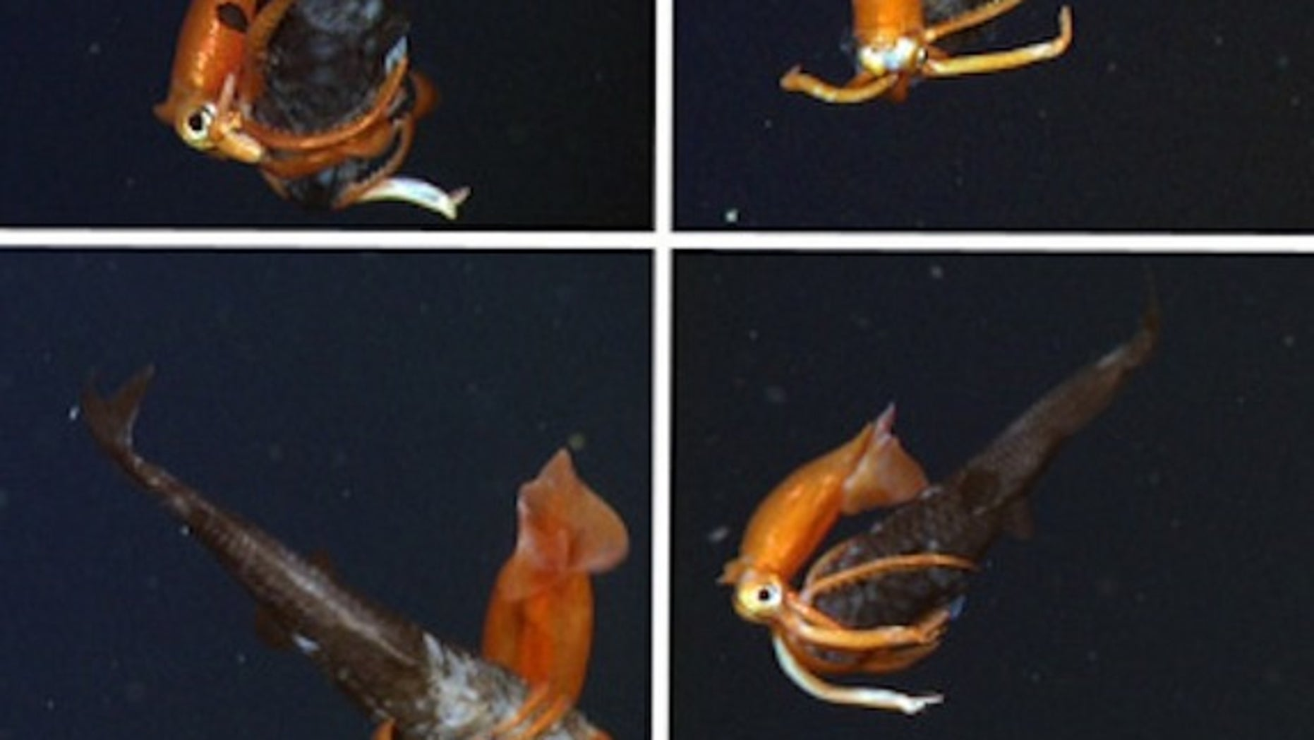 A squid and owlfish battle in Monterey Bay, as seen by MBARI's remotely-operated vehicle on Nov. 11, 2013.