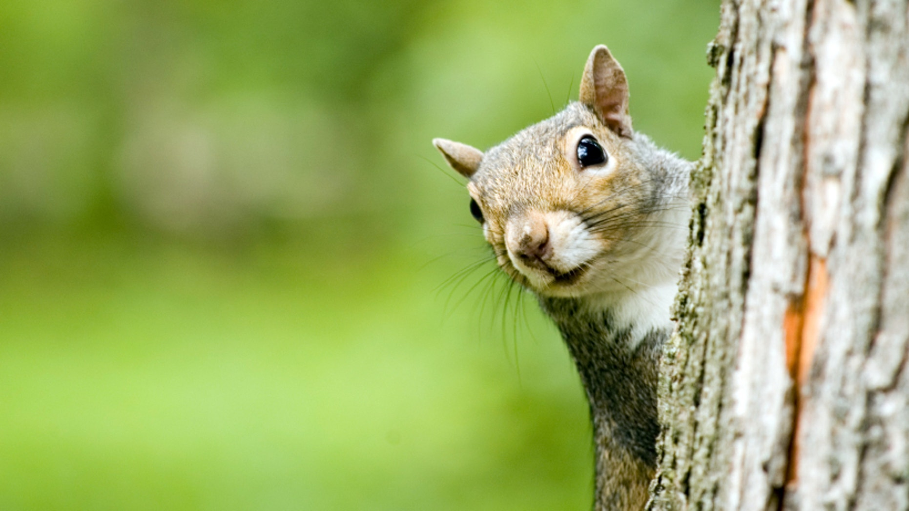 A plague-infected squirrel (not shown here) has prompted the closure of three campgrounds in the Angeles National Forest.