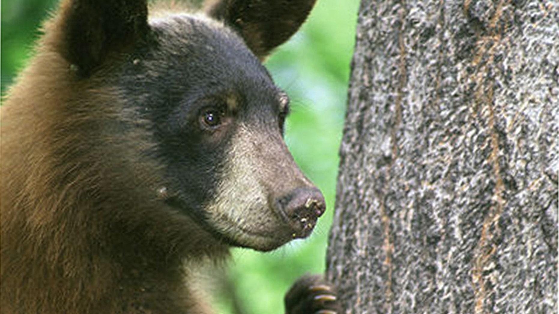 An American black bear.