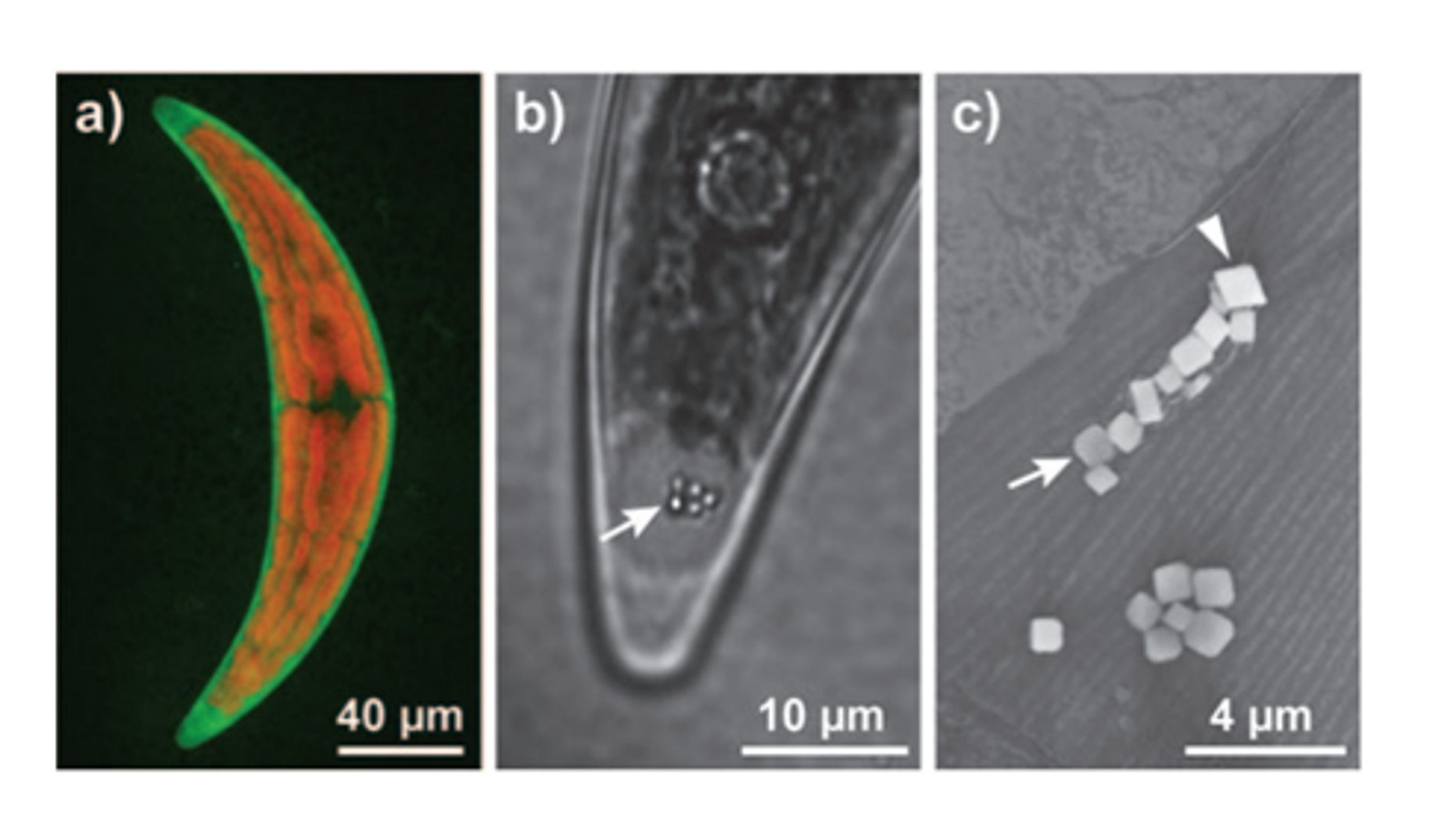 C. moniliferum, Crystallizing Strontium Minna R. Krejci et al.
