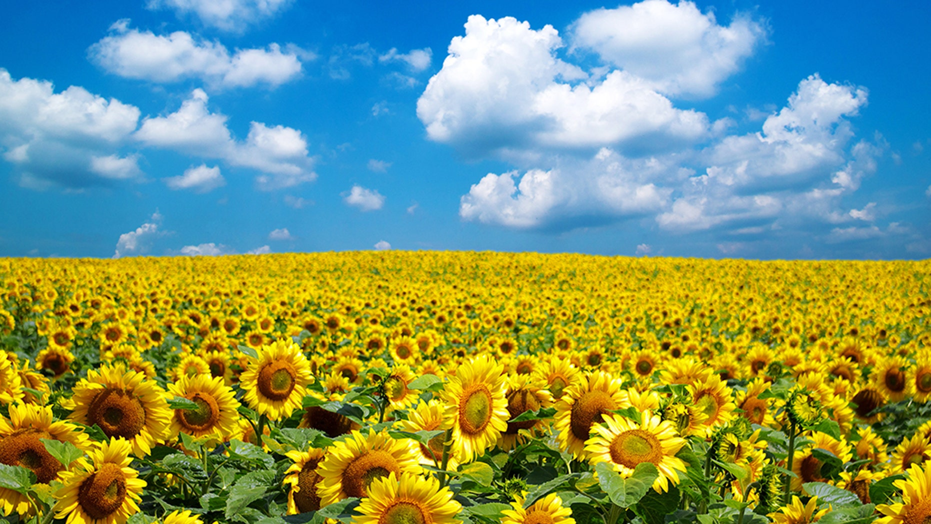 Sunflower Farm Closes After Being Inundated With Selfie Seekers