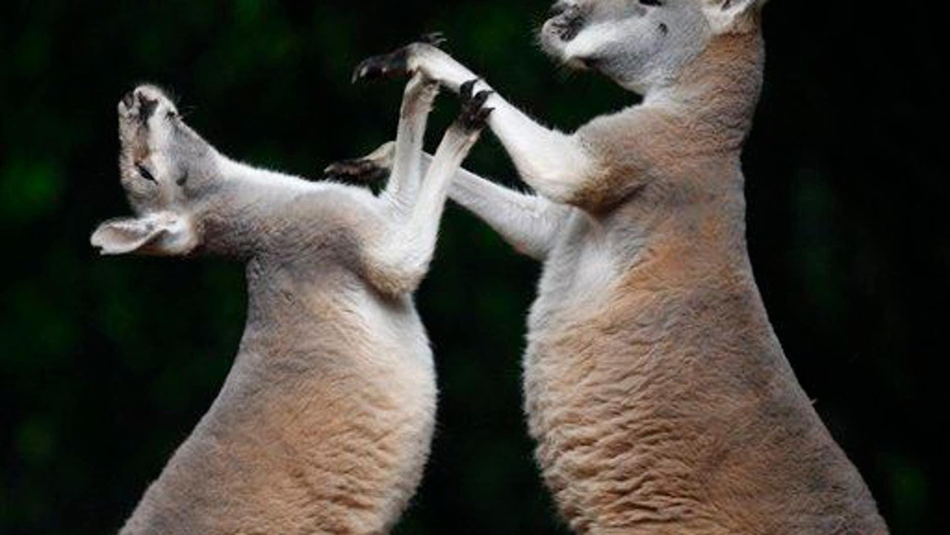 Two kangaroos fight at Hanover Zoo, Hanover,  northern Germany,  Friday, Aug. 15, 2008.