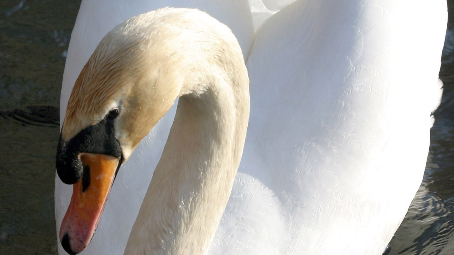 A mute swan swims on the Ohrid lake near the border with Macedonia in the city of Pogradec, about 160 km (100 miles) from capital Tirana, Albania, March 5, 2006. Albania on Wednesday, March 8, 2006, confirmed its first case of the deadly H5N1 strain of bird flu in a chicken found in the southern Sarande coastal region, near the border with Greece. Picture taken March 5, 2006.   REUTERS/Arben Celi