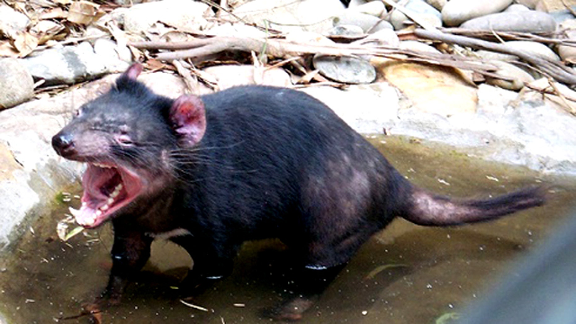 The Tasmanian devil is characterised by a stocky muscular build, strong odor, loud and disturbing screech, keen sense of smell, and a well-known ferocity when feeding.