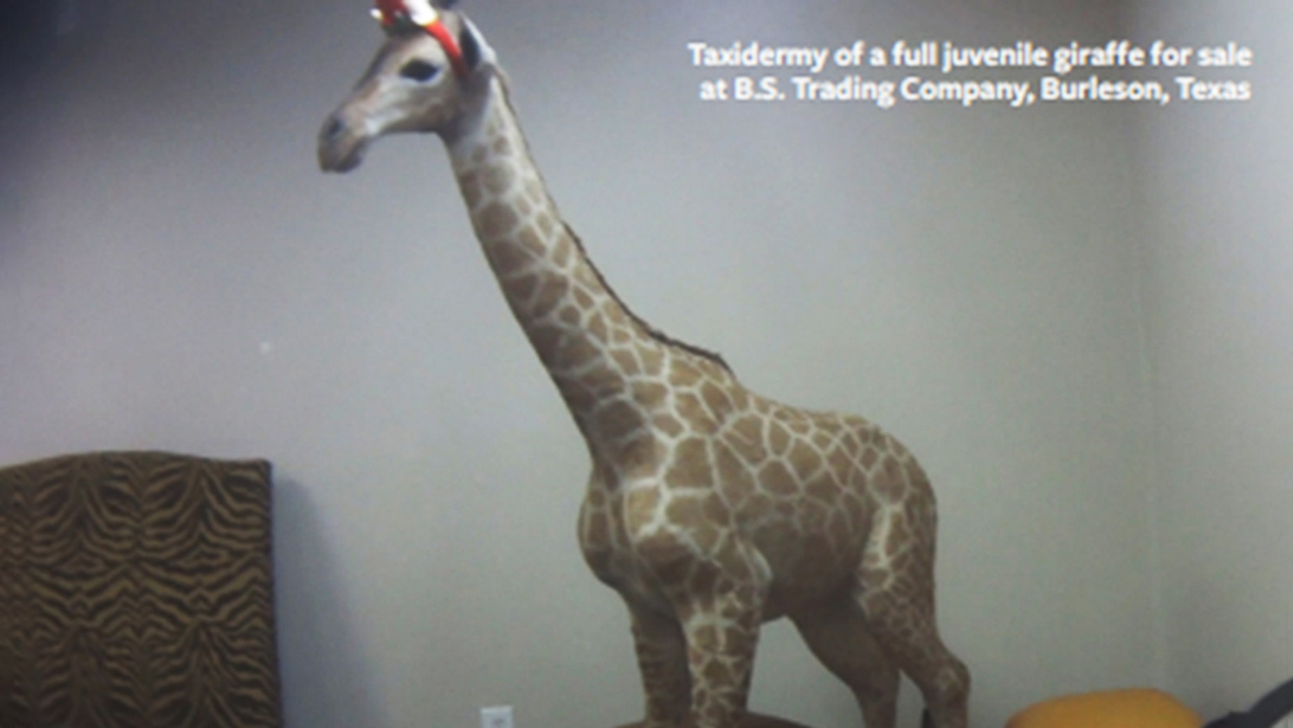 A taxidermy of a young giraffe pictured for sale at B.S. Trading Company in Burleson, Texas, according to the Humane Society International. The group said in a new report that more than 40,000 giraffe products and pieces have been imported into the U.S. throughout the last 10 years.