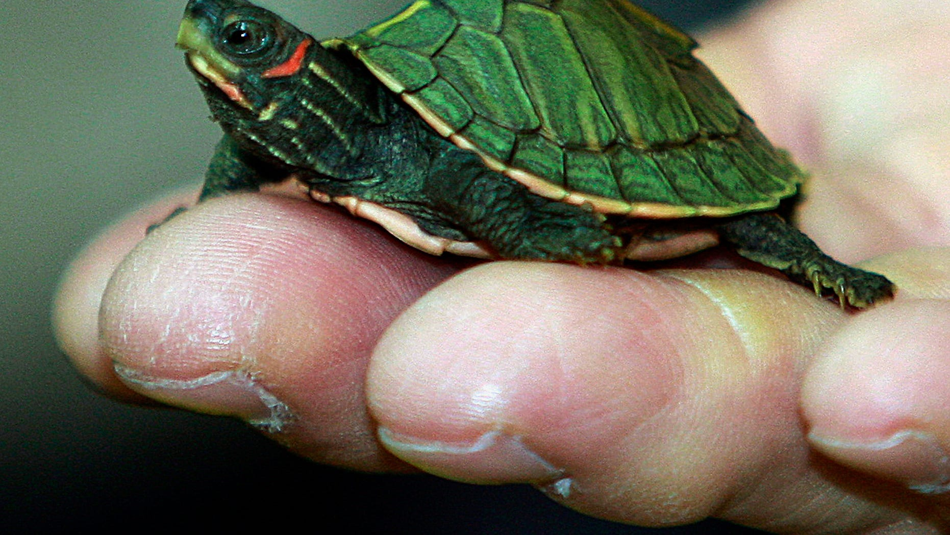 In this photo taken June 2, 2011, a young Indian roofed turtle crawls on the fingers of a custom officer during a news conference on wildlife seized in Bangkok, Thailand. Officials at Thailand's gateway airport proudly tick off the illegally trafficked wildlife they have seized over the past two years. But Thai and foreign law enforcement officers tell another story: officials working-hand-in-hand with the traffickers ensure that other shipments through Suvarnabhumi International Airport are whisked off before they even reach customs inspection. (AP Photo/Apichart Weerawong)