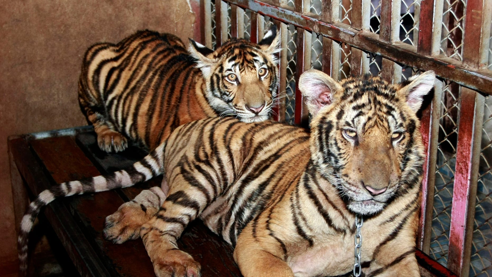 Sept. 10, 2012 - Two tiger cubs are chained and kept in an enclosure on the roof top of the apartment building in Pathum Thani proivince, central Thailand.
