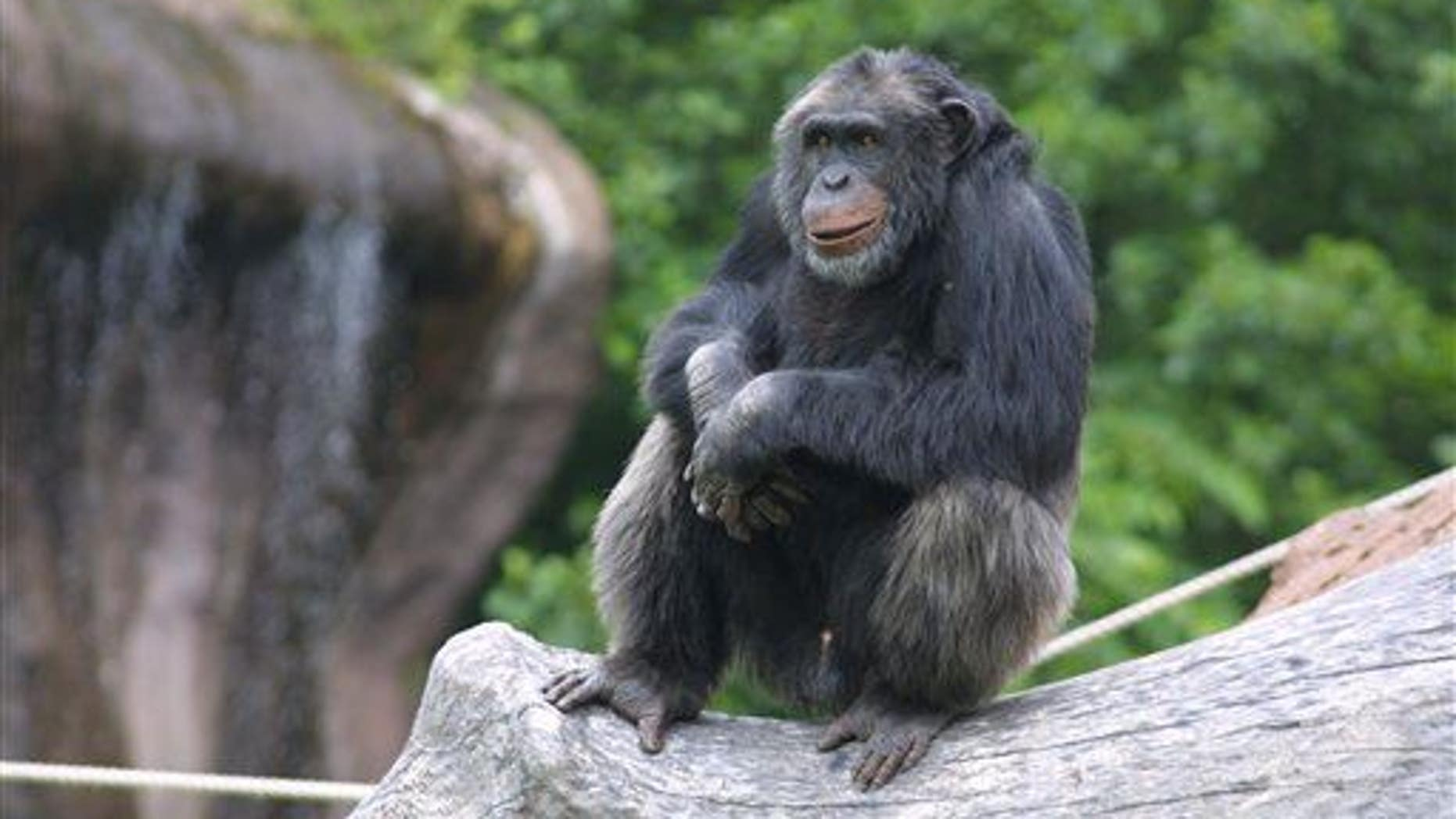 In this undated image released by Sweden's Furuvik Zoo, Santino the chimpanzee is seen in his enclosure at the zoo in Furuvik, Sweden.