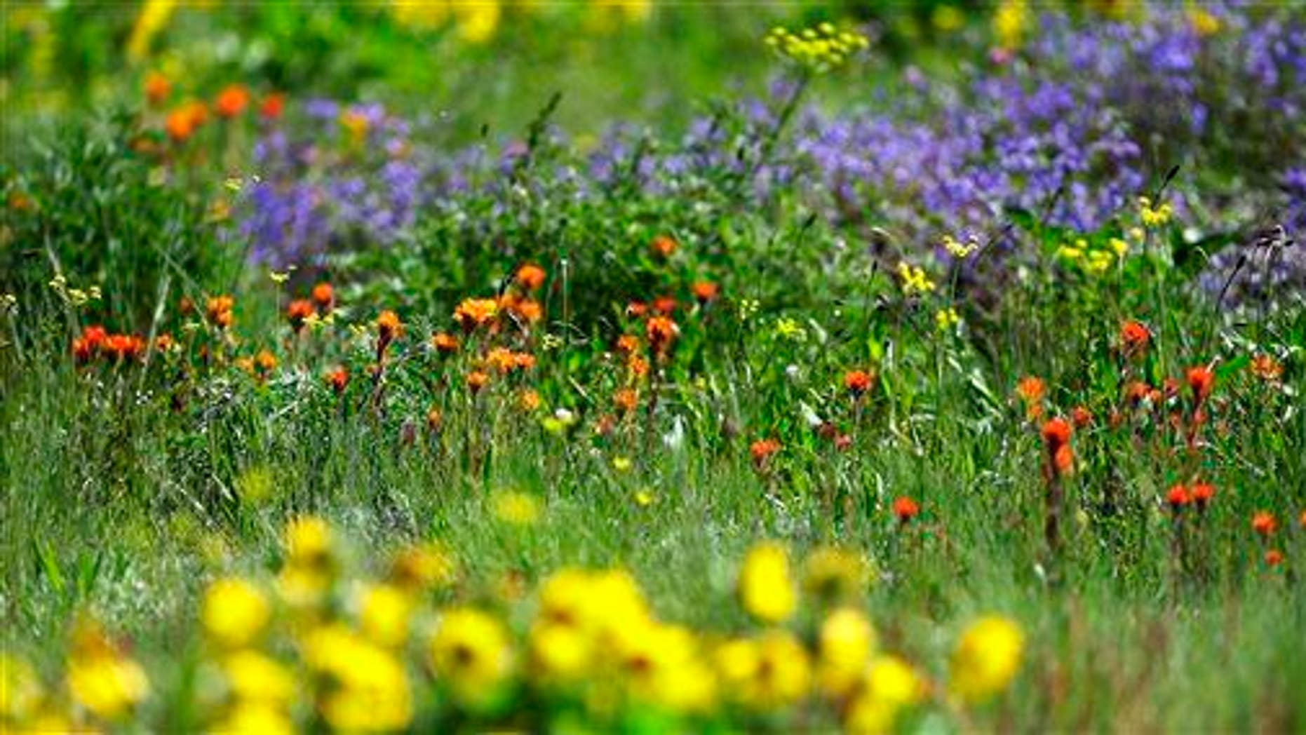 In this photo taken May 7, 2014, colorful flowers grow in a prairie area at Joint Base Lewis-McChord, Wash.