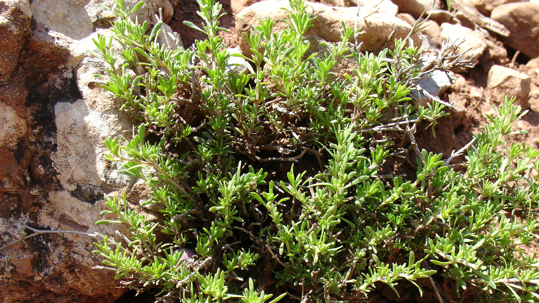 Bronchitis season means it's time for thyme | Fox News