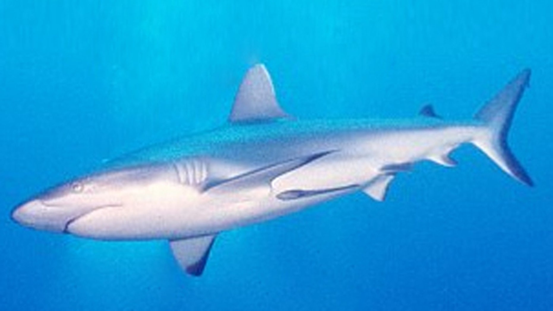 A gray reef shark (Carcharhinus amblyrhynchos) circles.