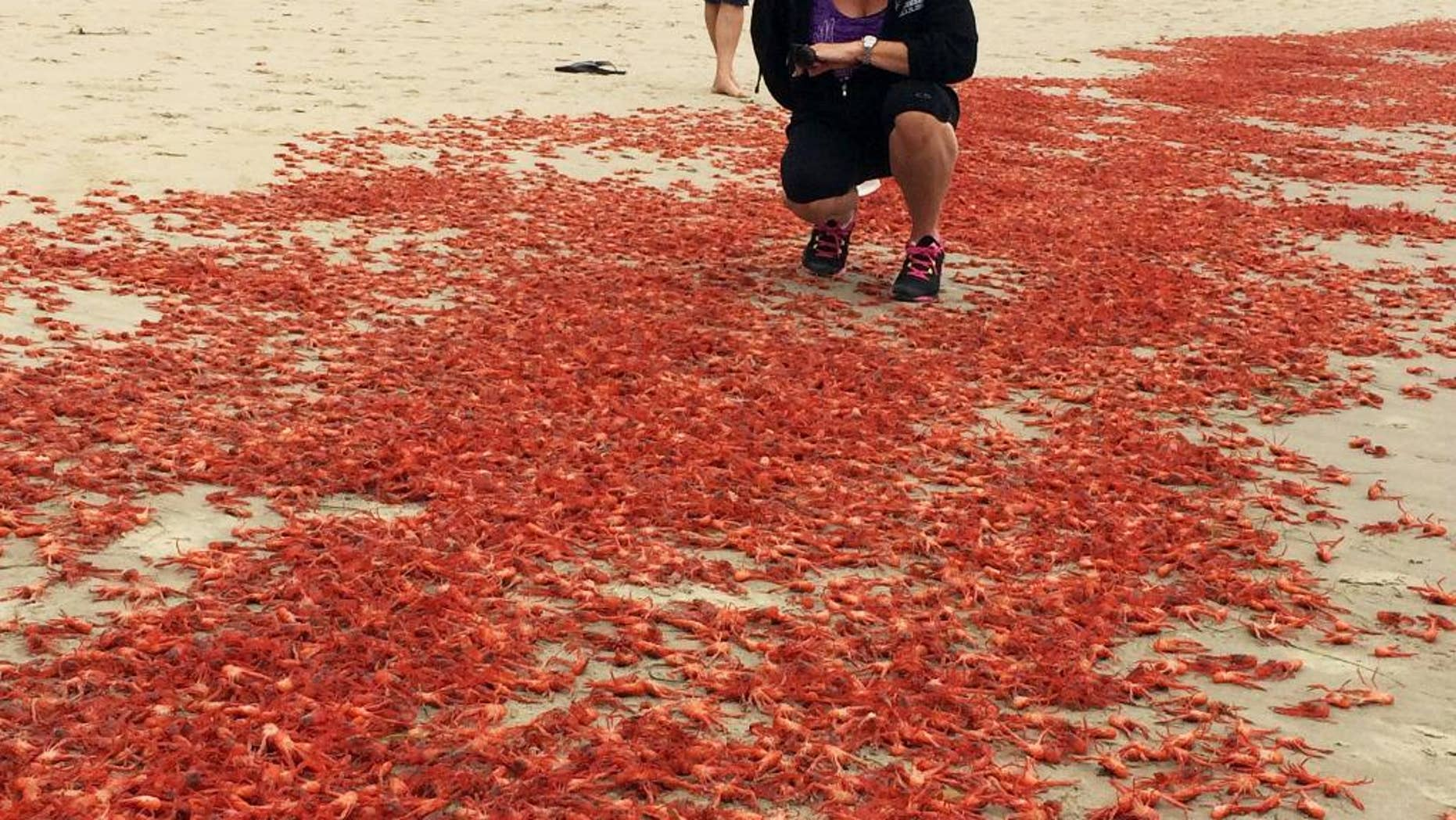 In this photo provided by Lyn Michelle Evins, Donna Kalez, manager of Dana Wharf Sportfishing, poses for a photo with thousands of tiny tuna crabs that washed ashore near her place of business at Strand Beach in Dana Point, Calif., Sunday, June 14, 2015.  The crabs have been washing up by the thousands on some Orange County beaches. (Lyn Michelle Evins via AP)