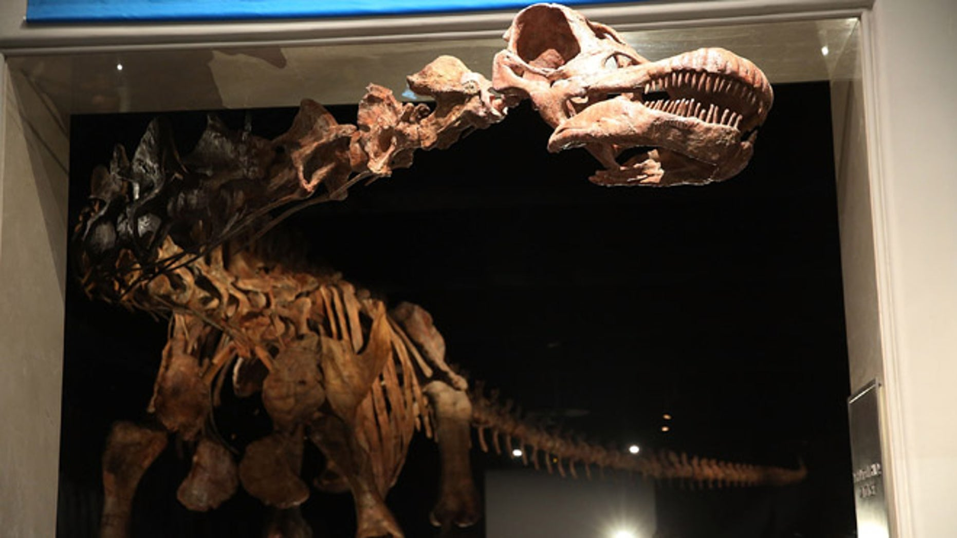 """NEW YORK, NY - JANUARY 14:  A replica of one of the largest dinosaurs ever discovered is unveiled at the American Museum of Natural History on January 14, 2016 in New York City. The replica of the """"Titanosaur""""  weighs about 70 tons, is 17 feet tall and stretches to nearly 122 feet long. The dinosaur belongs to the titanosaur family and was discovered by Paleontologists in the Patagonian Desert of Argentina in 2014 and lived about 100 to 95 million years ago. The exhibit at the museum features bones, fossils and a fibreglass replica of the creature.  (Photo by Spencer Platt/Getty Images)"""