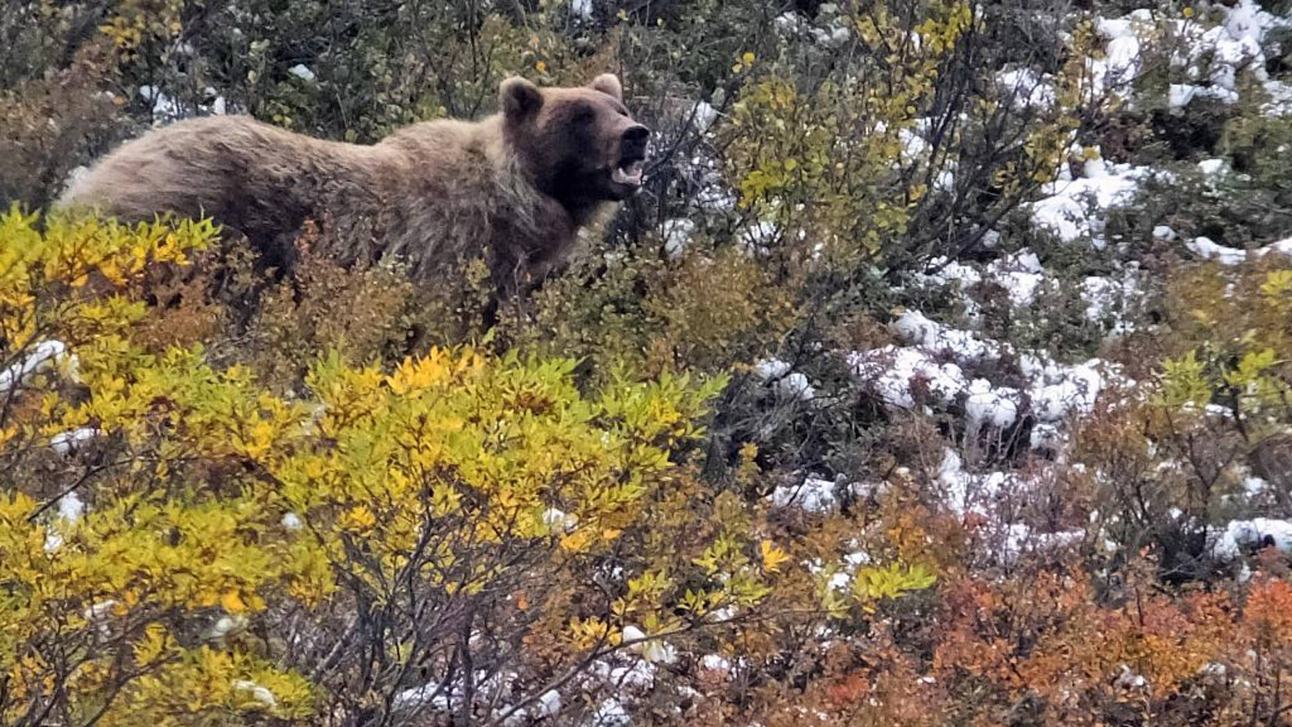 FILE - In this Monday, Aug. 31, 2015, file photo, a grizzly bear looks up from foraging, in Denali National Park and Preserve, Alaska.