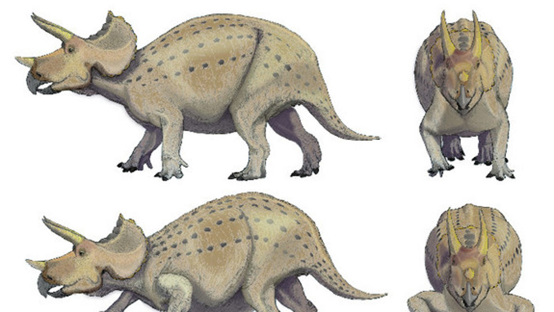 Researchers think Triceratops had forelimbs with a more mammal-like posture as in the top images, versus the more reptile-like forelimb posture shown below.
