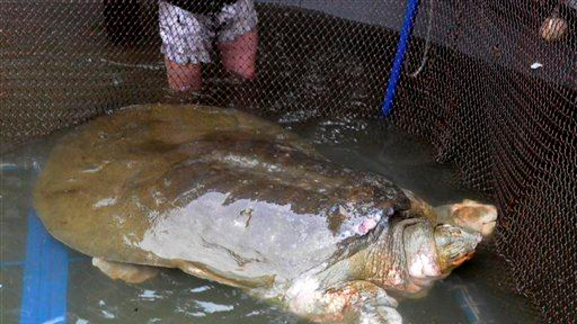 In this 2011 photo, a giant softshell turtle is seen after being pulled from Hoan Kiem Lake in Hanoi, Vietnam.