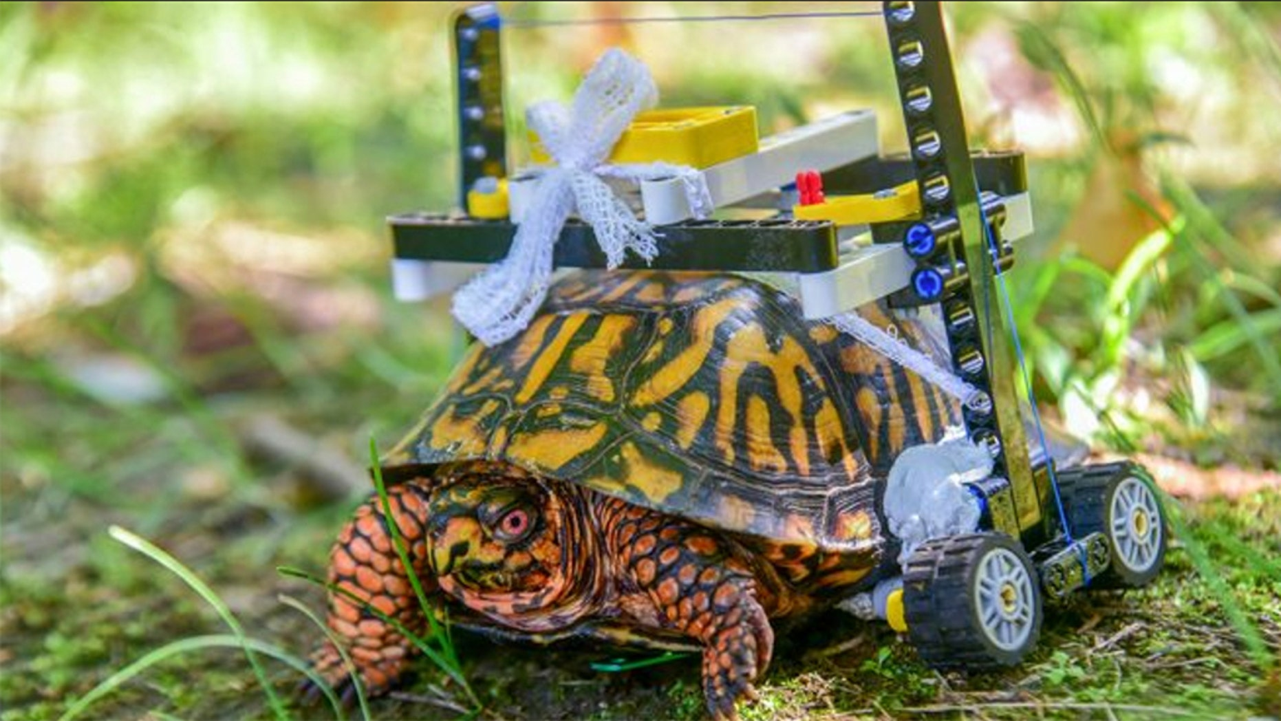 "A ""customized Lego wheelchair"" was designed for one lucky wild Eastern box turtle who needed some help after injuring and undergoing surgery for his shell, according to a news release from the Maryland Zoo."
