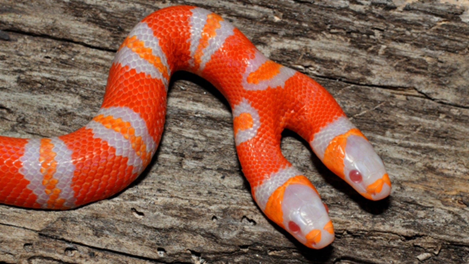 "A beautiful ""bicephalic"" (or two-headed) albino Honduran milk snake, or Lampropeltis triangulum hondurensis."