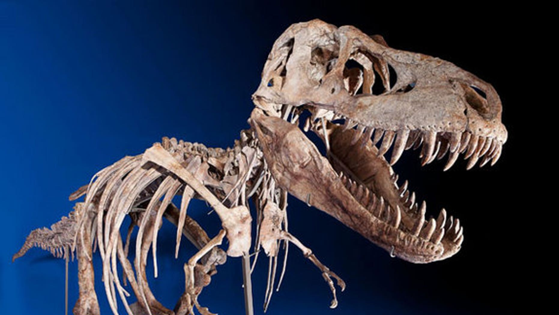 This nearly complete Tyrannosaurus bataar is set to go on auction.