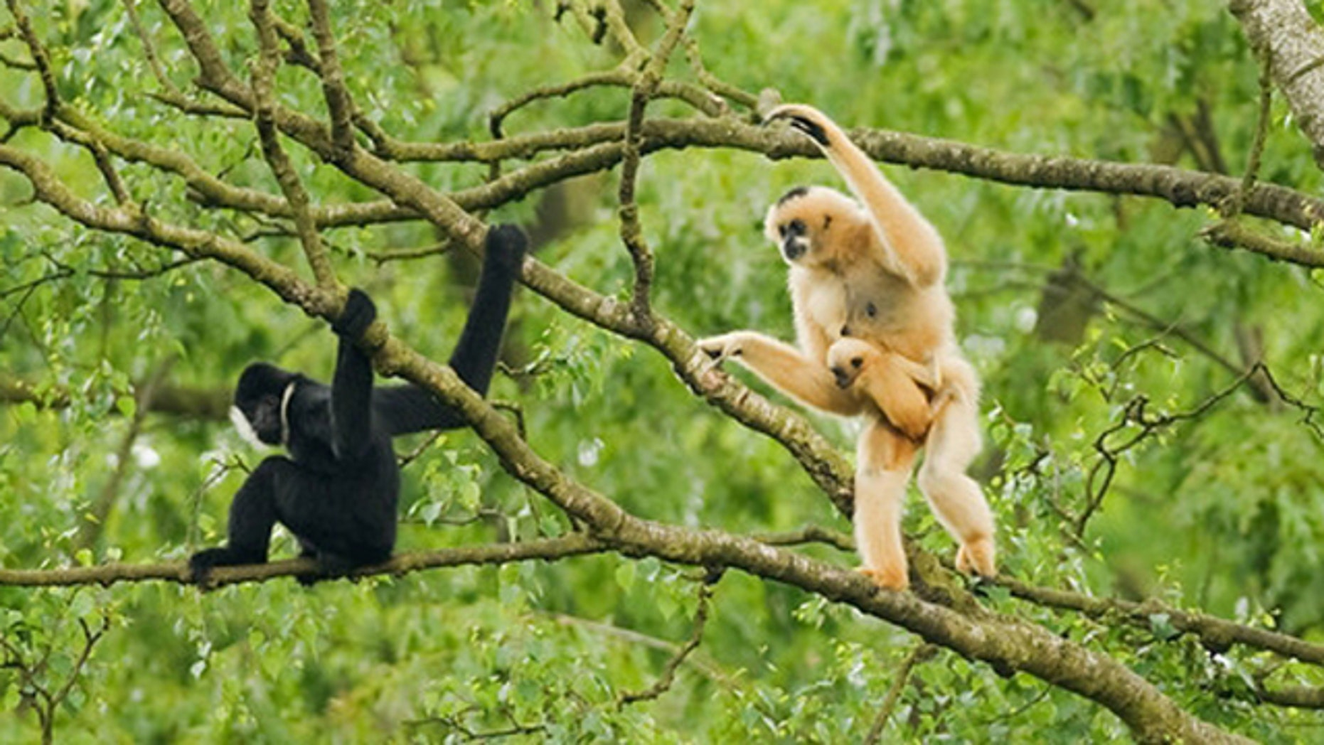 In this July 2011 photo released by Conservation International, an adult female northern white-cheeked crested gibbon, right, carries its baby as an adult male sits nearby at Pu Mat National Park, Nghe An province in Vietnam. About 455 northern white-cheeked crested gibbons were discovered in the National Park during a survey by the wildlife group Conservation International. The group is the largest known remaining population of the critically endangered primate.