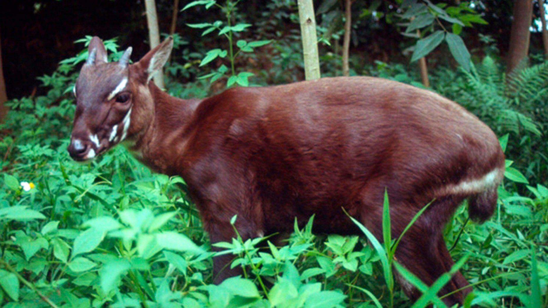 """In this undated photo released by the international conservation group WWF, a saola pauses in the jungle of Vietnam. A new nature reserve in Quang Nam, central Vietnam, raises hope for the survival of the recently discovered and critically endangered antelope-like species called the saola, an official said Monday, April 18, 2011. The saola looks like a small deer or antelope with two horns, even though it's locally called an Asian """"unicorn."""""""