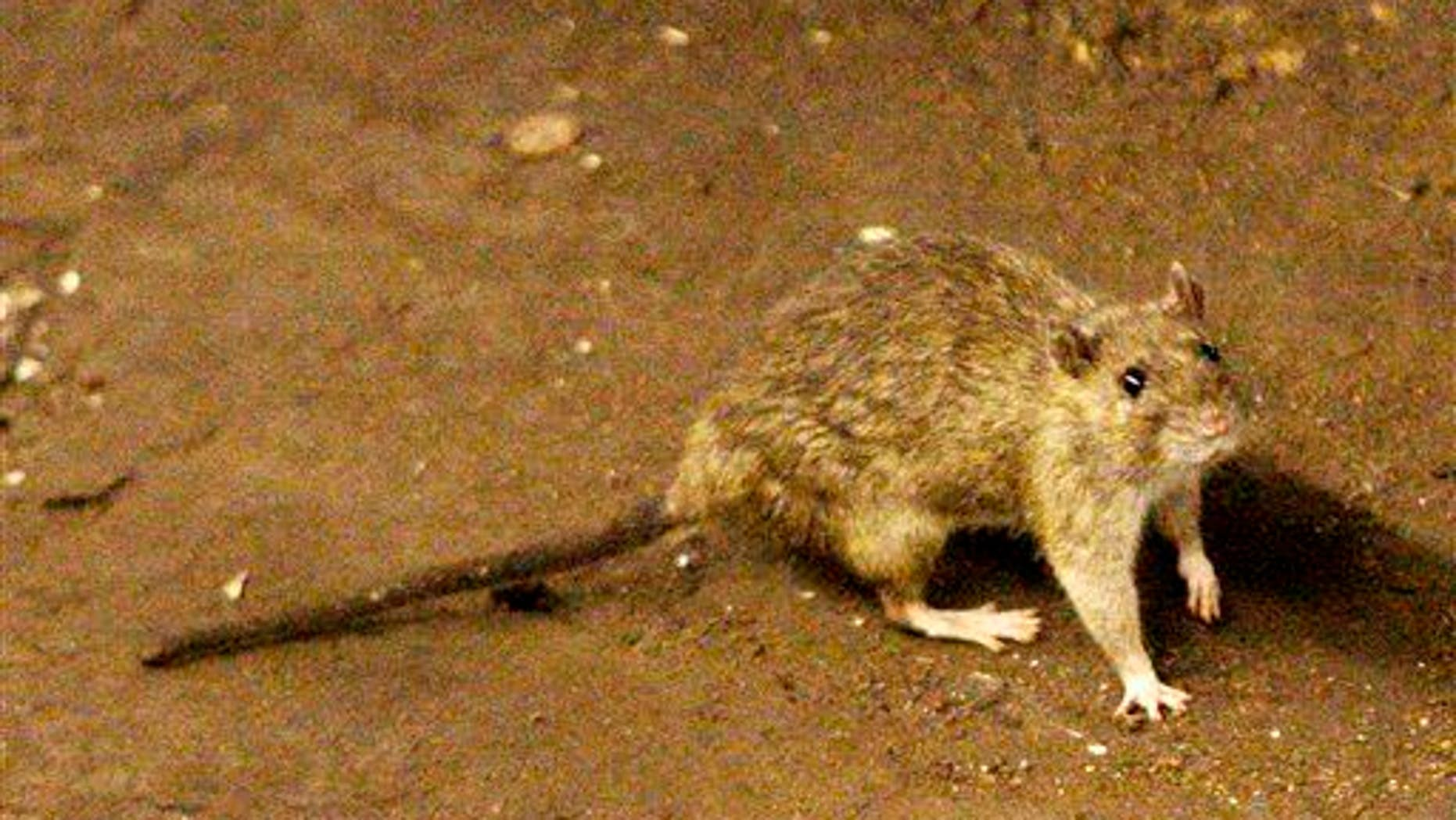 In this June 15, 2010 file photo, a rat moves along the ground near the subway tracks at Union Square in New York.