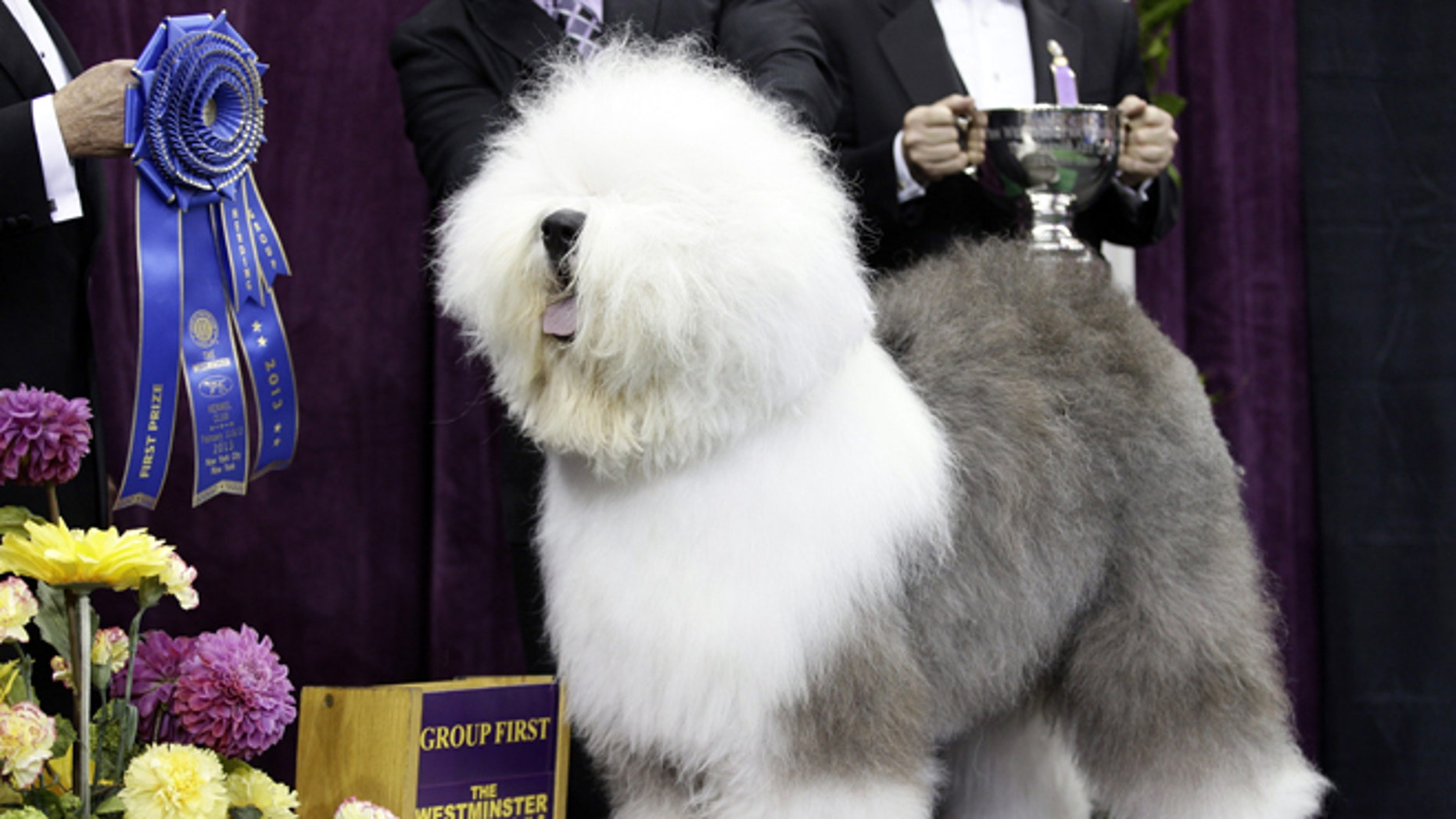 Feb. 11, 2013: Swagger, an Old English Sheep Dog, is posed for photographs after winning the herding group during the Westminster Kennel Club dog show at Madison Square Garden in New York. Swagger is a contender for the best in show during the 138th Westminster Kennel Club dog show. (AP/Frank Franklin II, File)