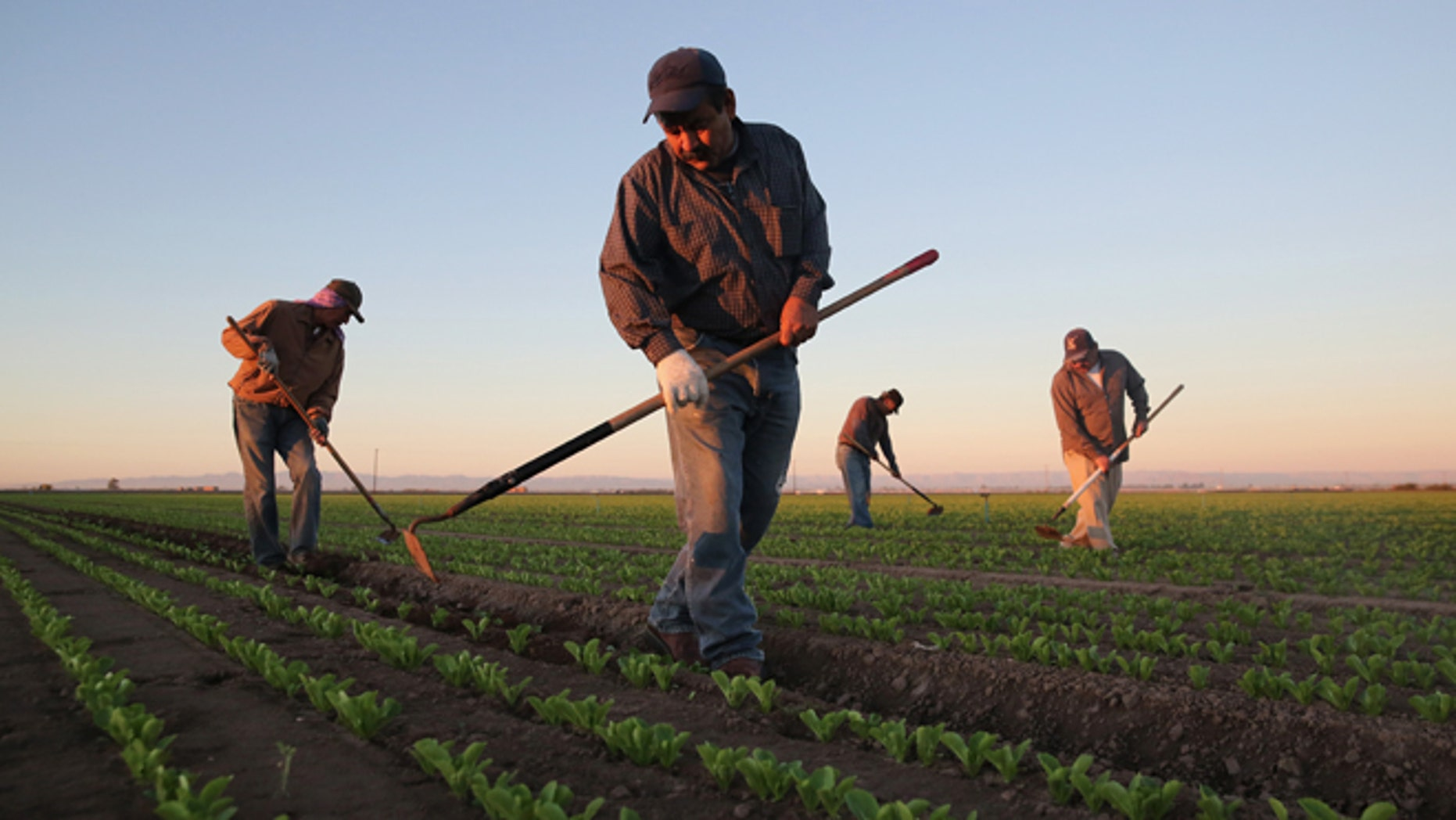 HOLTVILLE, CA - OCTOBER 08:  Mexican agricultural workers cultivate romaine lettuce on a farm on October 8, 2013 in Holtville, California. Thousands of Mexican workers cross the border legally each night from Mexicali, Mexico into Calexico, CA, where they pick up work as agricultural day laborers in California's fertile Imperial Valley. Although the Imperial Valley, irrigated from water diverted from the Colorado River, is one of the most productive agricultural areas in the United States, it has one of the highest unemployment rates in California, at more than 25 percent. Mexican farm workers commute each day from Mexicali to work in the fields for about $9 an hour, which many local U.S. residents shun as too low pay.  (Photo by John Moore/Getty Images)