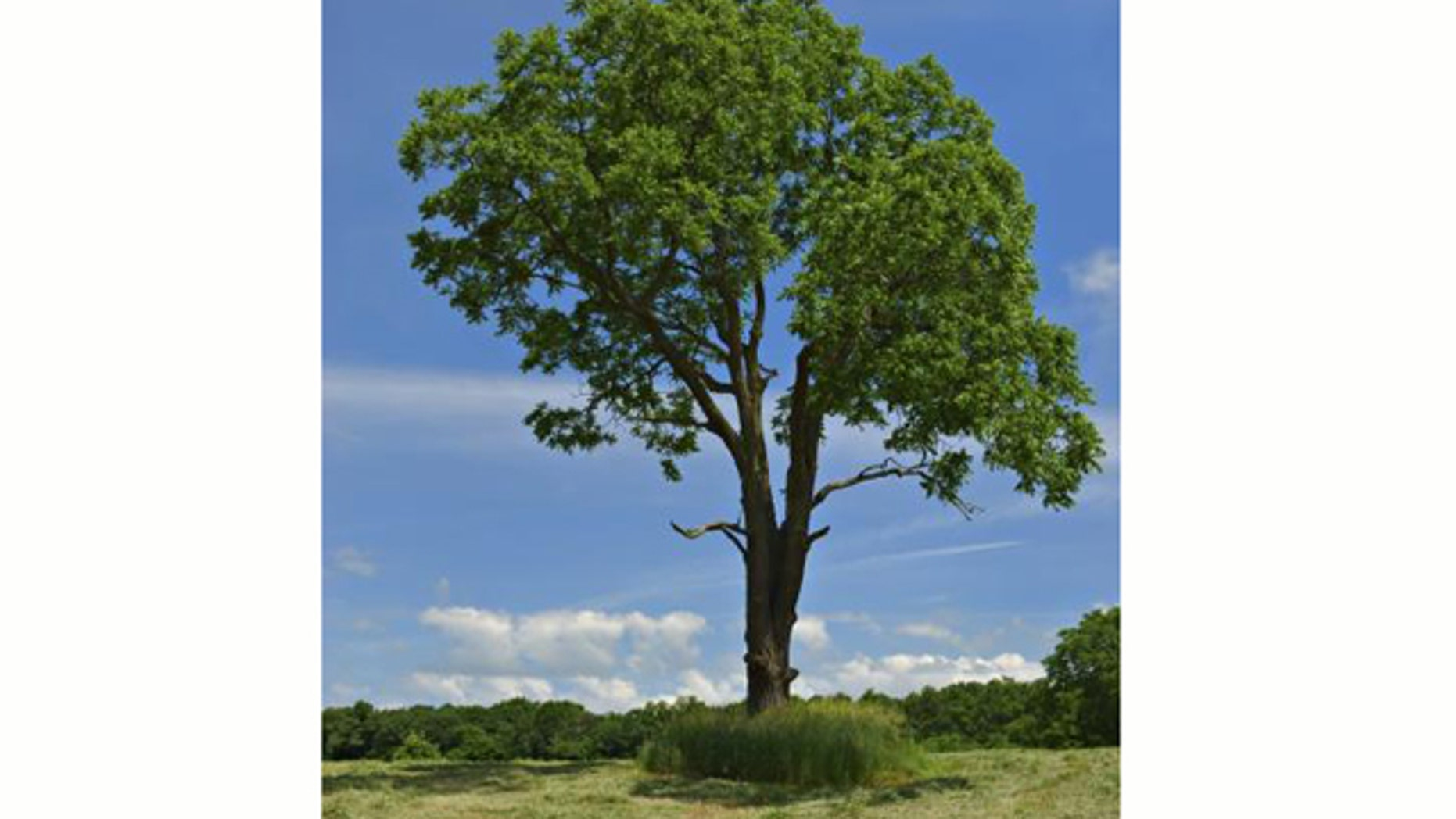 Leaves of the walnut tree contain progesterone, the female sex hormone, discovered for the first time in a plant.