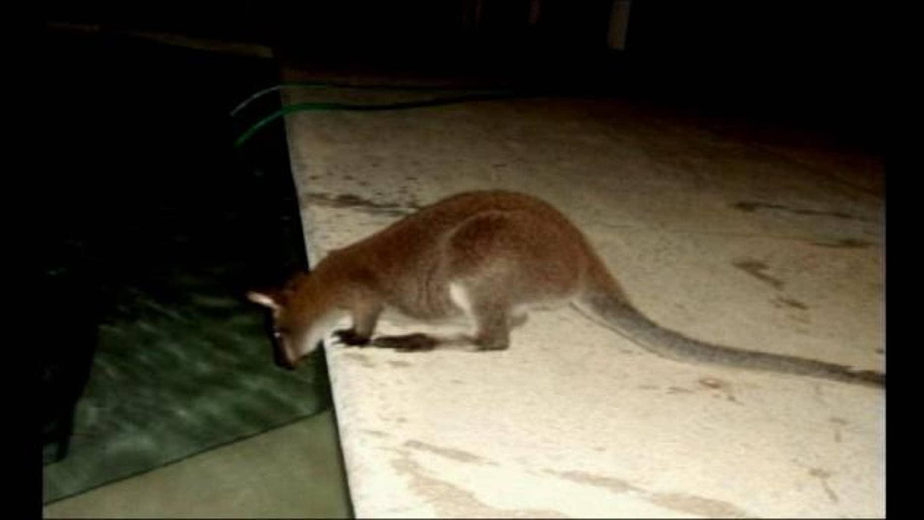 A freewheeling wallaby has been roaming through Windmere, reports ClickOrlando.com.