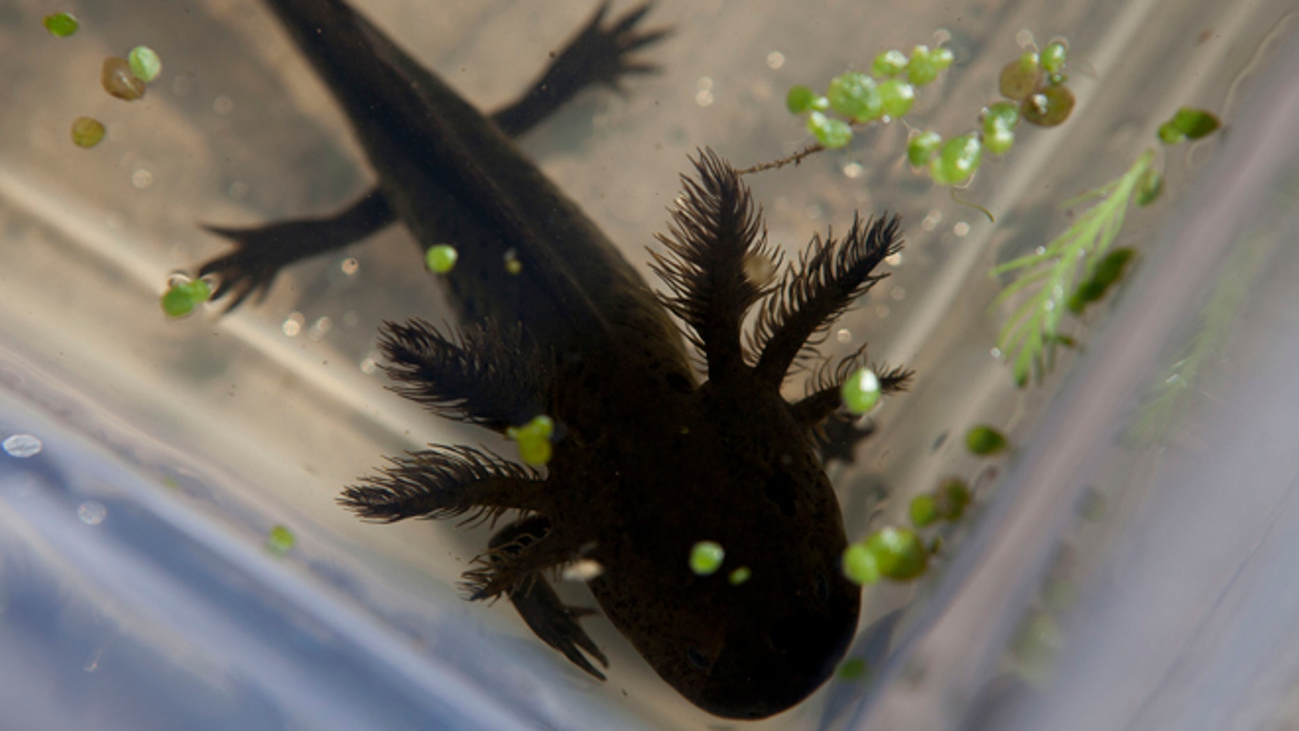 """In this Friday, Feb. 21, 2014 photo, a young axolotl swims inside a plastic container at an experimental canal run by Mexico's National Autonomous University (UNAM) in the Xochimilco network of lakes and canals in Mexico City. Investigators have begun a search in hopes of finding what may be the last free-roaming axolotl. Not one axolotl was found during last year's effort at finding them in the wild in Xochimilco, their only natural habitat. The axolotl is known as the """"water monster"""" and the """"Mexican walking fish."""" (AP Photo/Dario Lopez-Mills)"""
