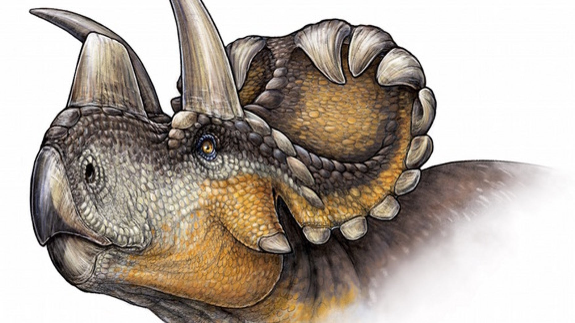 An artists' conception of <i>Wendiceratops</i>.
