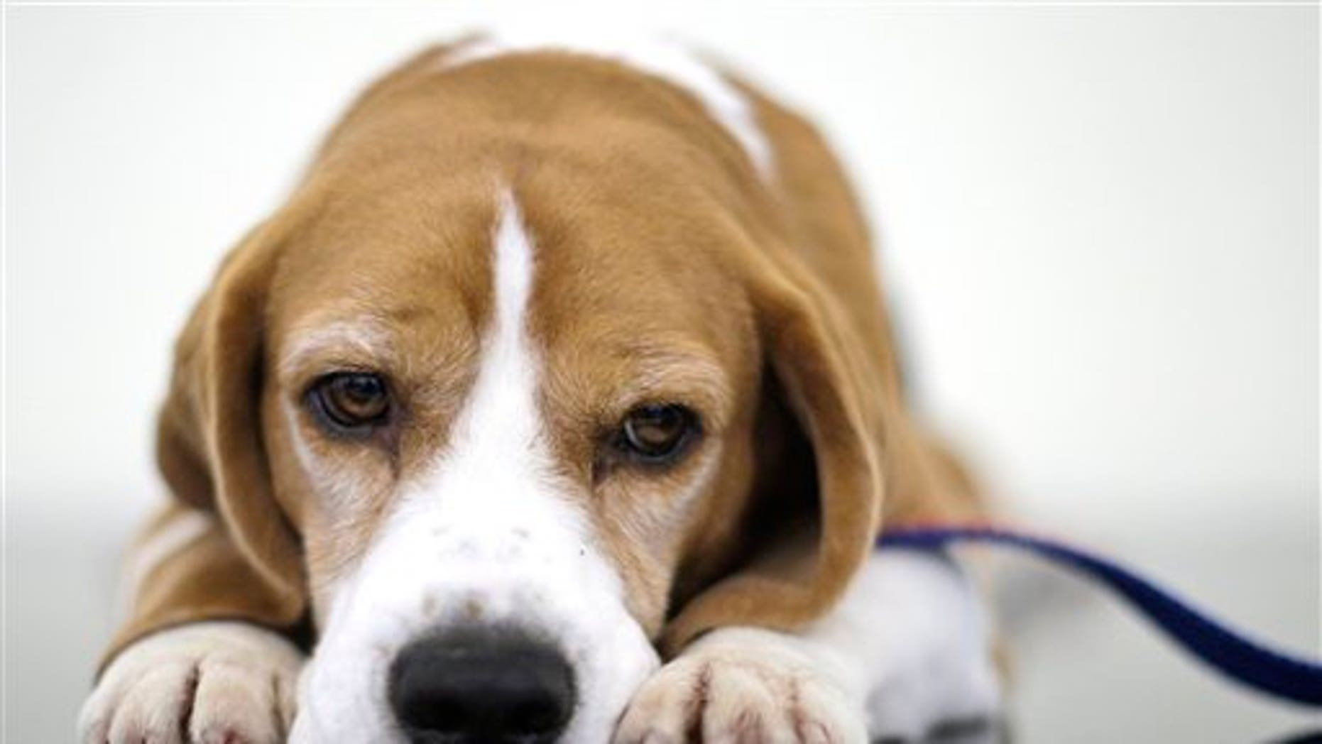 Uno the beagle, winner of Best in Show at the 132nd Westminster Kennel Club Dog Show looks on before a fundraiser for Angel on a Leash, a therapy dog organization, Saturday, Feb. 13, 2010  in New York. Competition in the 134th Westminster Kennel Club Dog Show will take place Feb. 15 and 16 at Madison Square Garden.